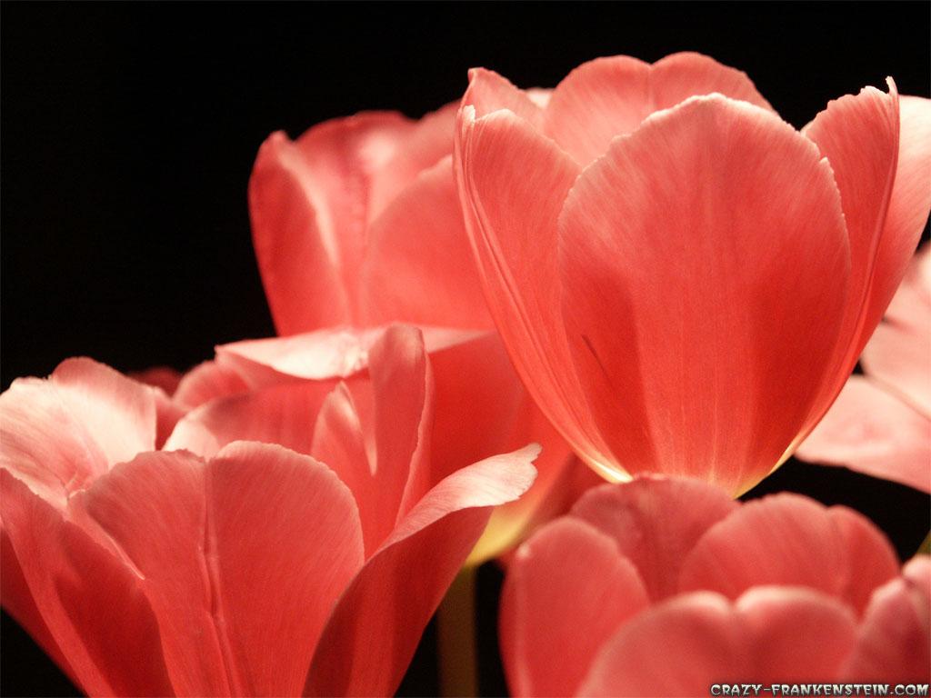 Wallpaper: Pink Tulips petals flowers
