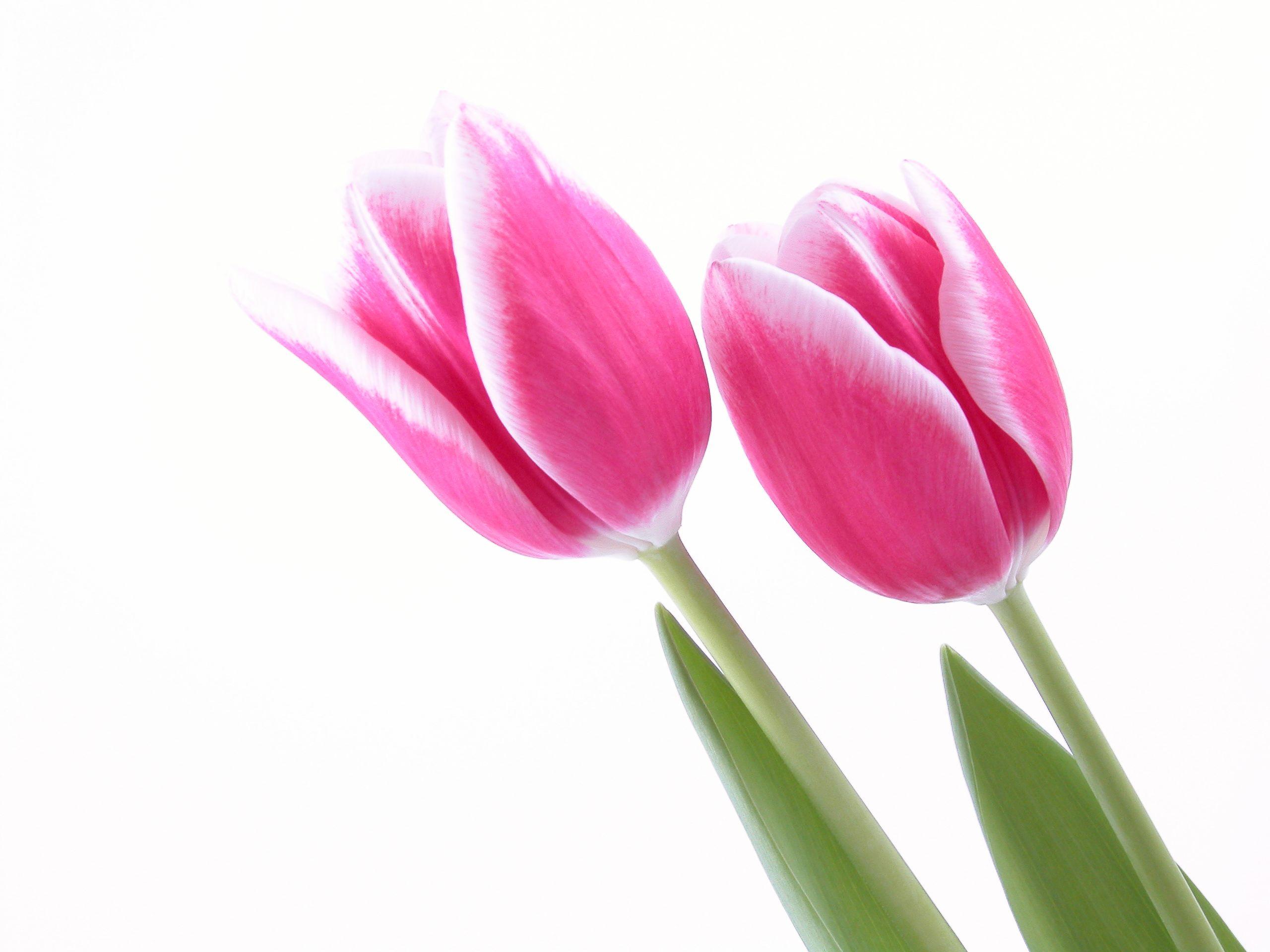 Tulips Pink Wallpaper