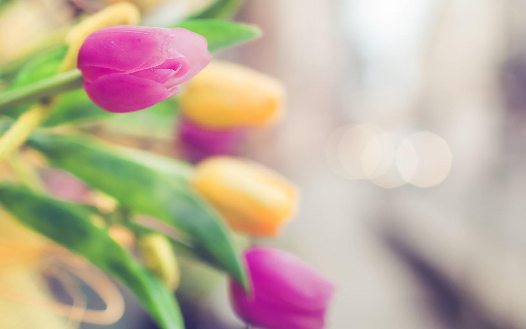 Tulips Pink Yellow Bokeh Focus