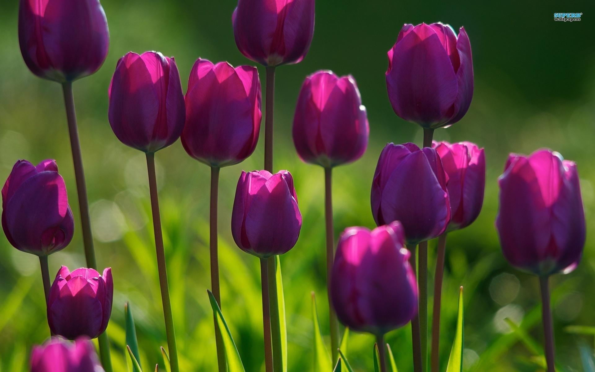 Tulips Purple Flowers