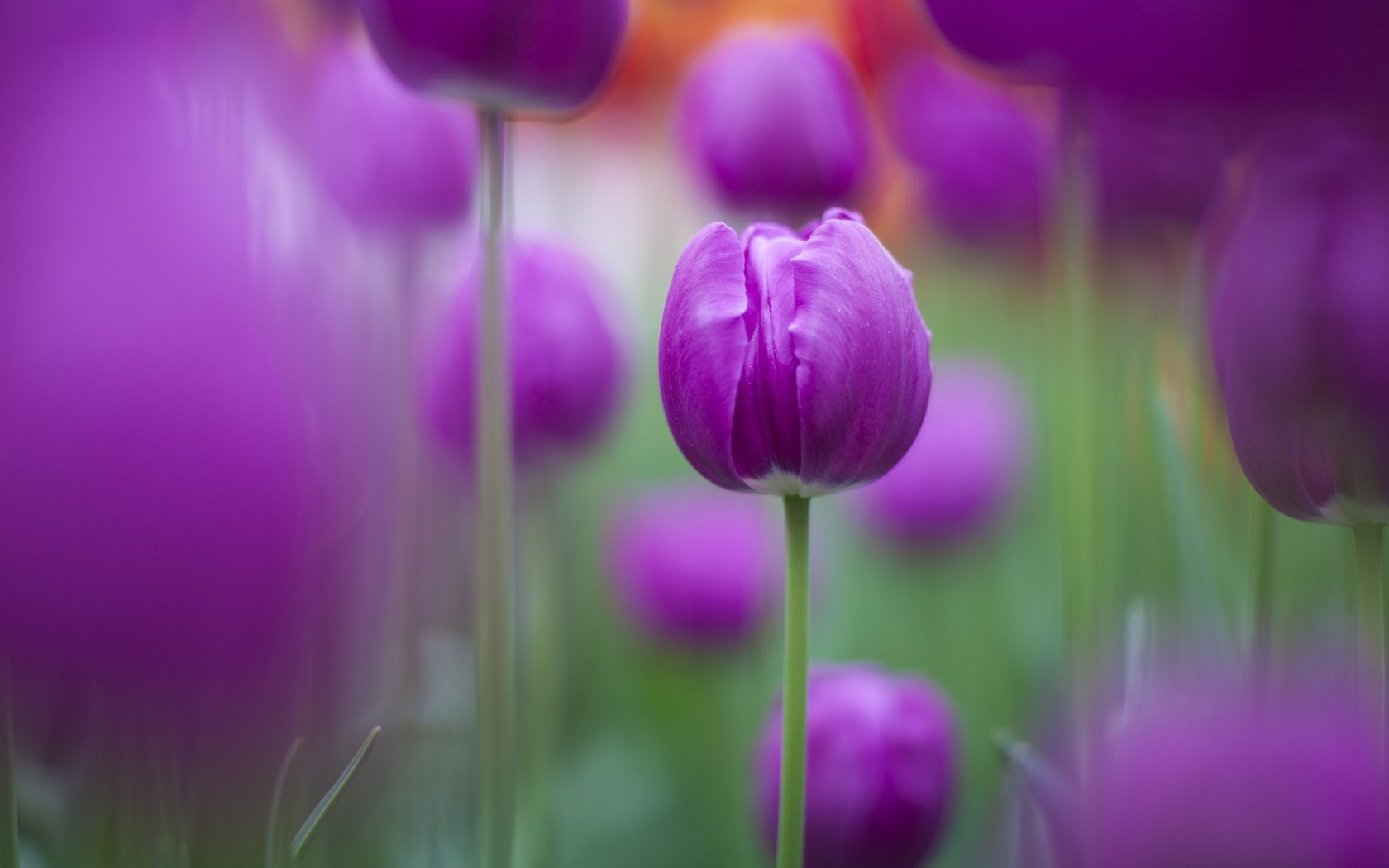 Tulips Purple Focus Flowers Nature