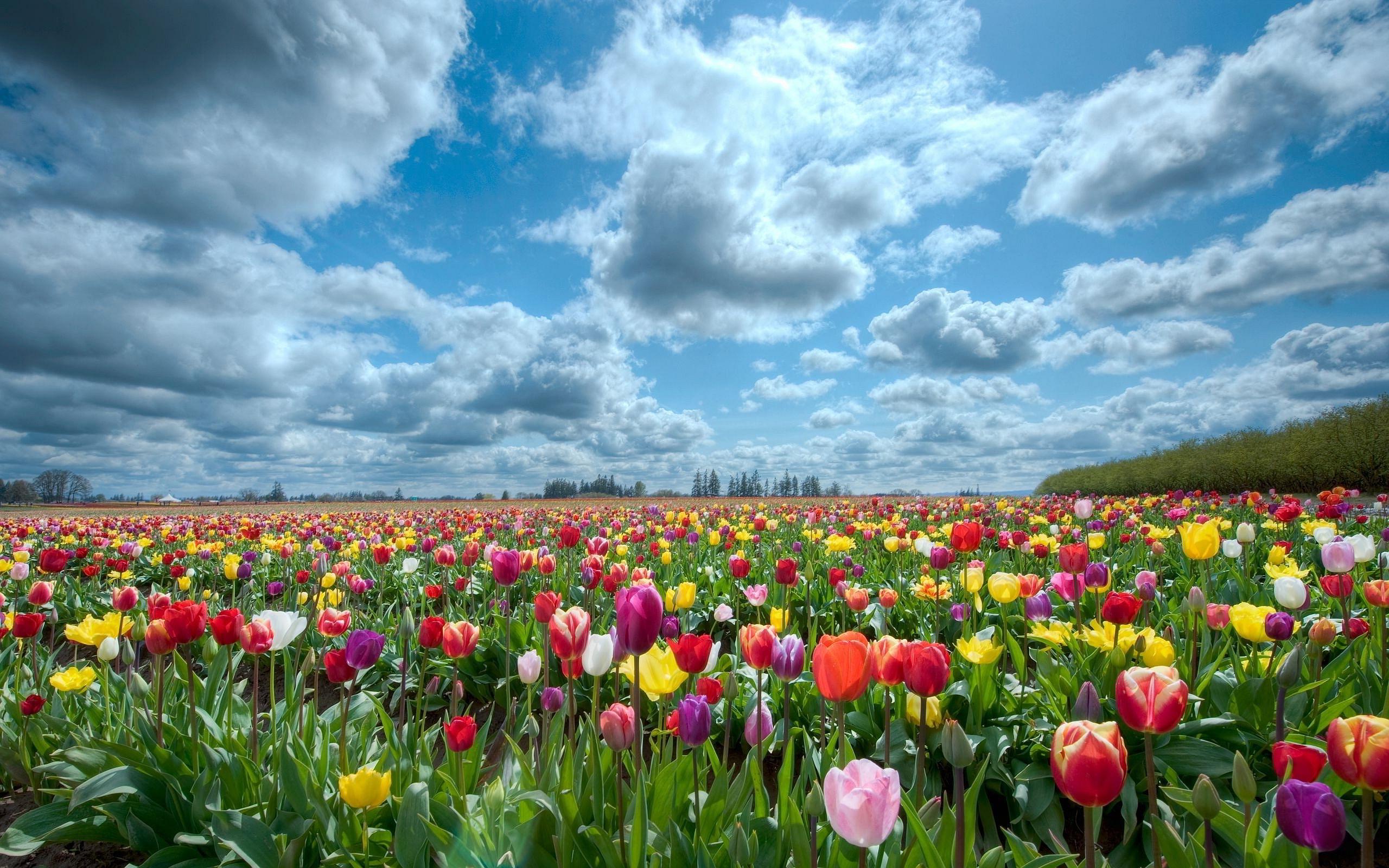Tulips scenery