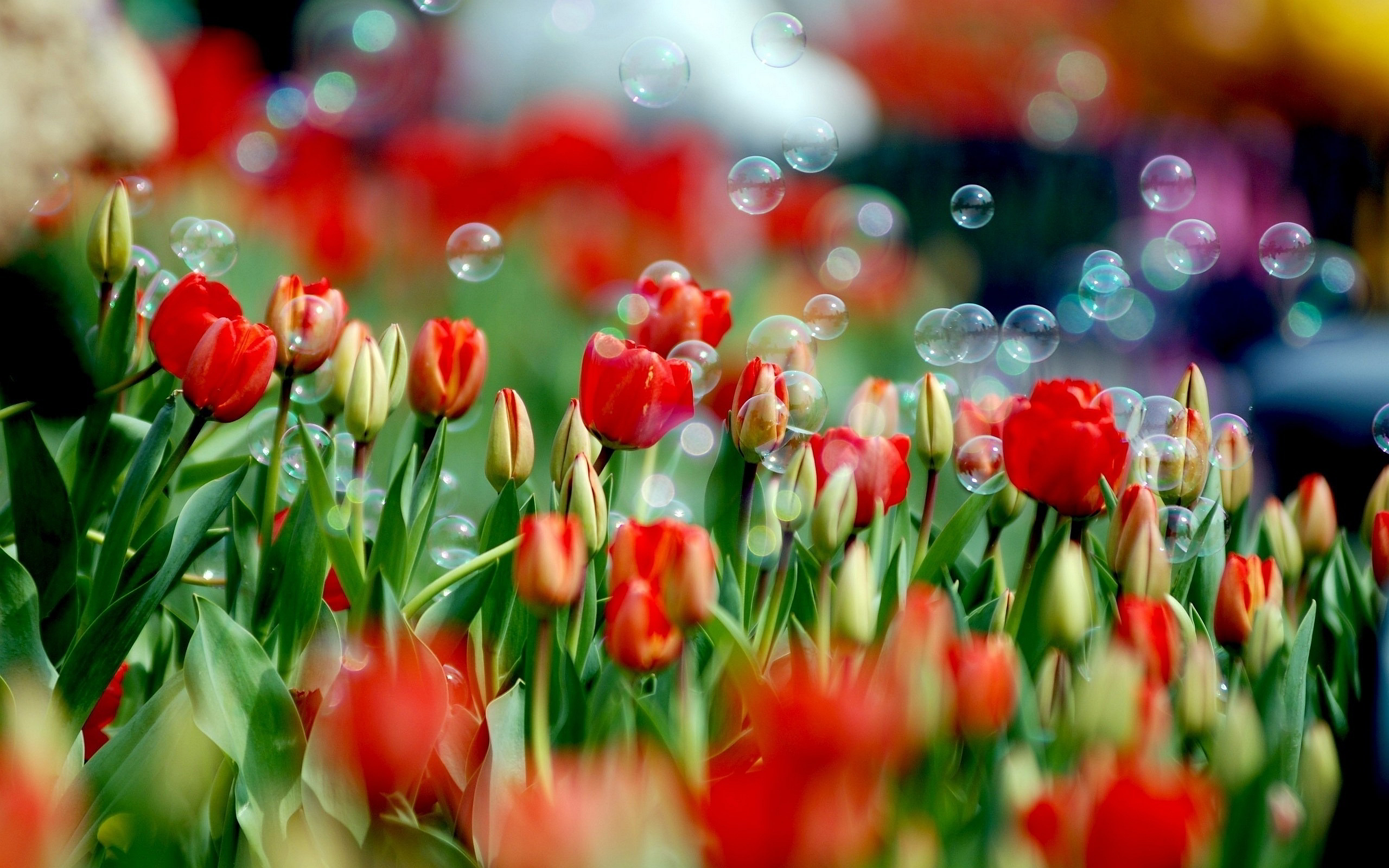 Tulips Soap Bubbles
