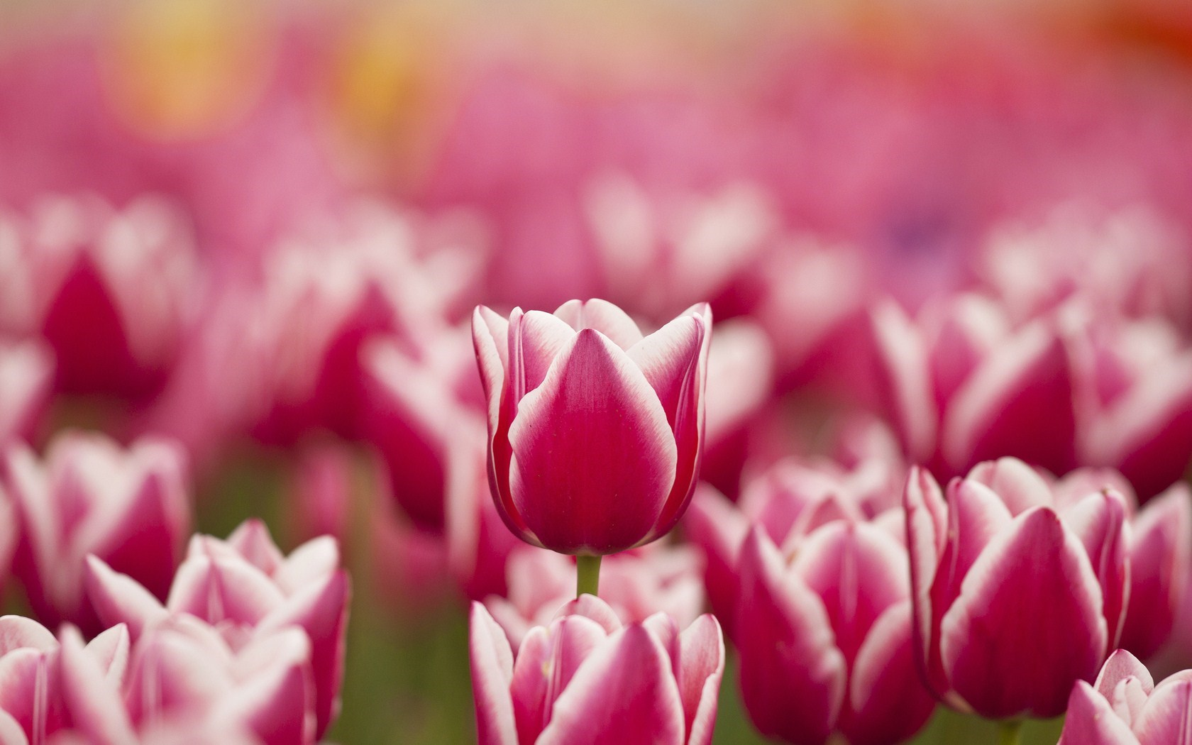 Flowers Tulips Pink White Spring