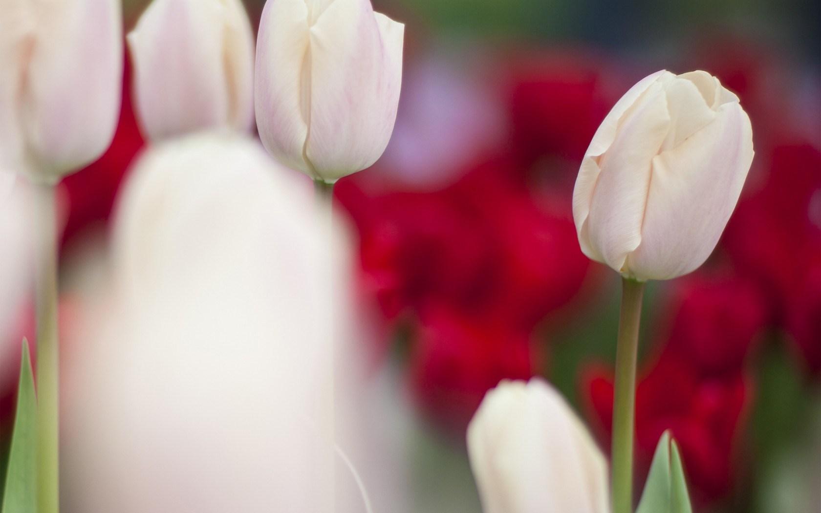 Tulips White Focus Blur
