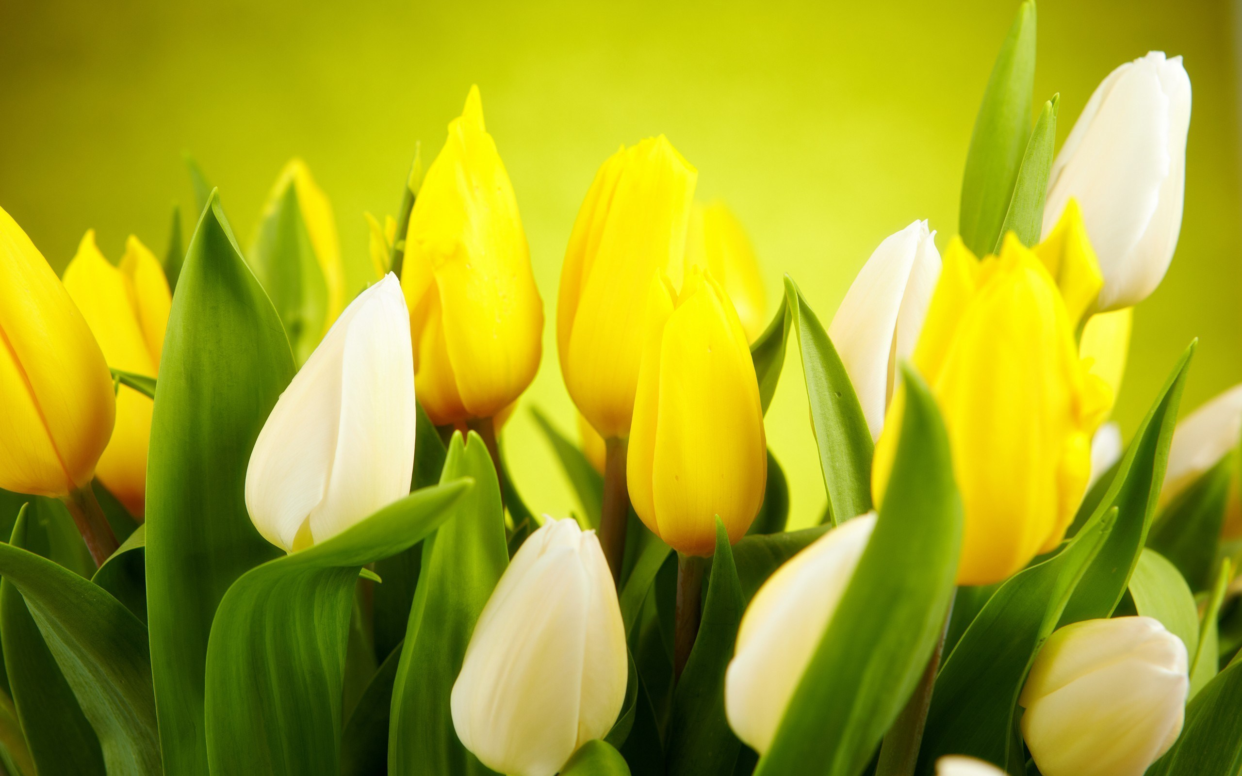 Tulips White Yellow Flowers Spring