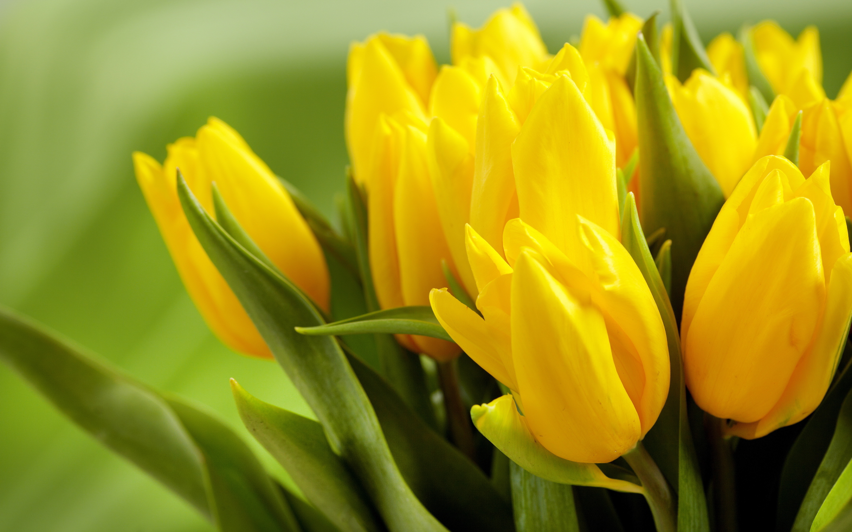 Yellow tulips hd