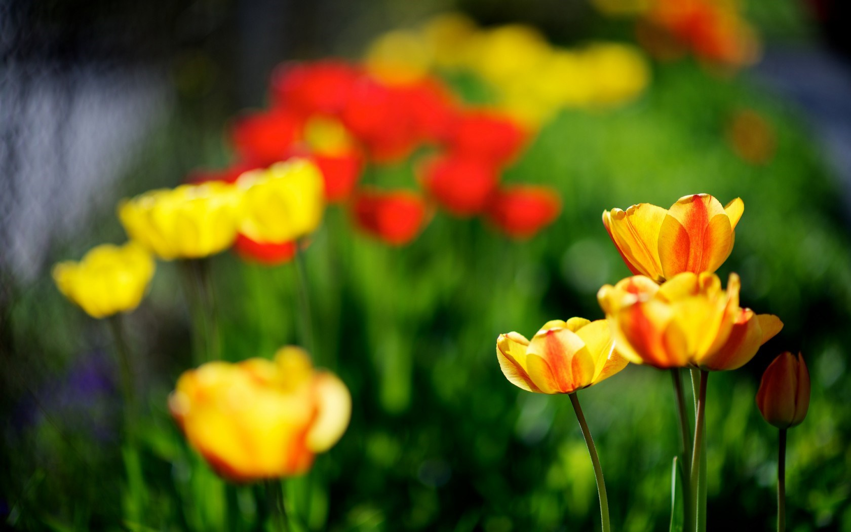 spring city tulips wallpaper - photo #8