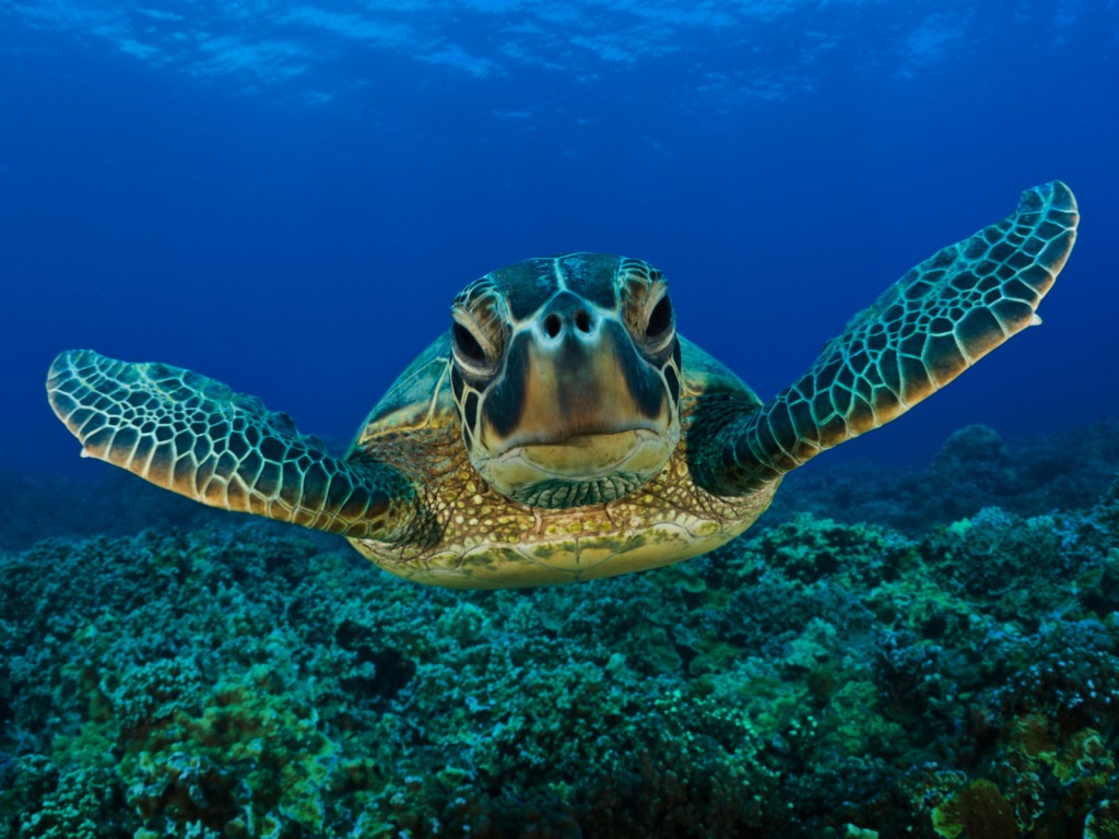 Sea Ocean Turtle Animal Wallpaper With 1024x768 Resolution