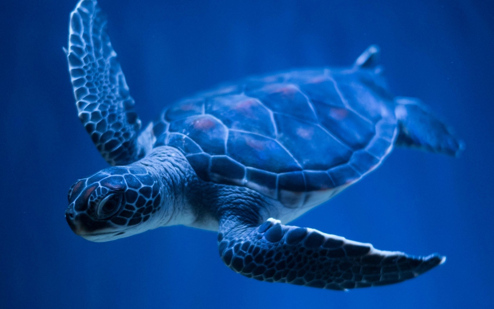 sea turtle wallpaper 2560x1920 40876
