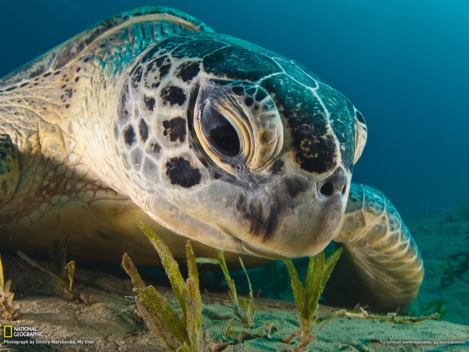 Turtle Wallpaper