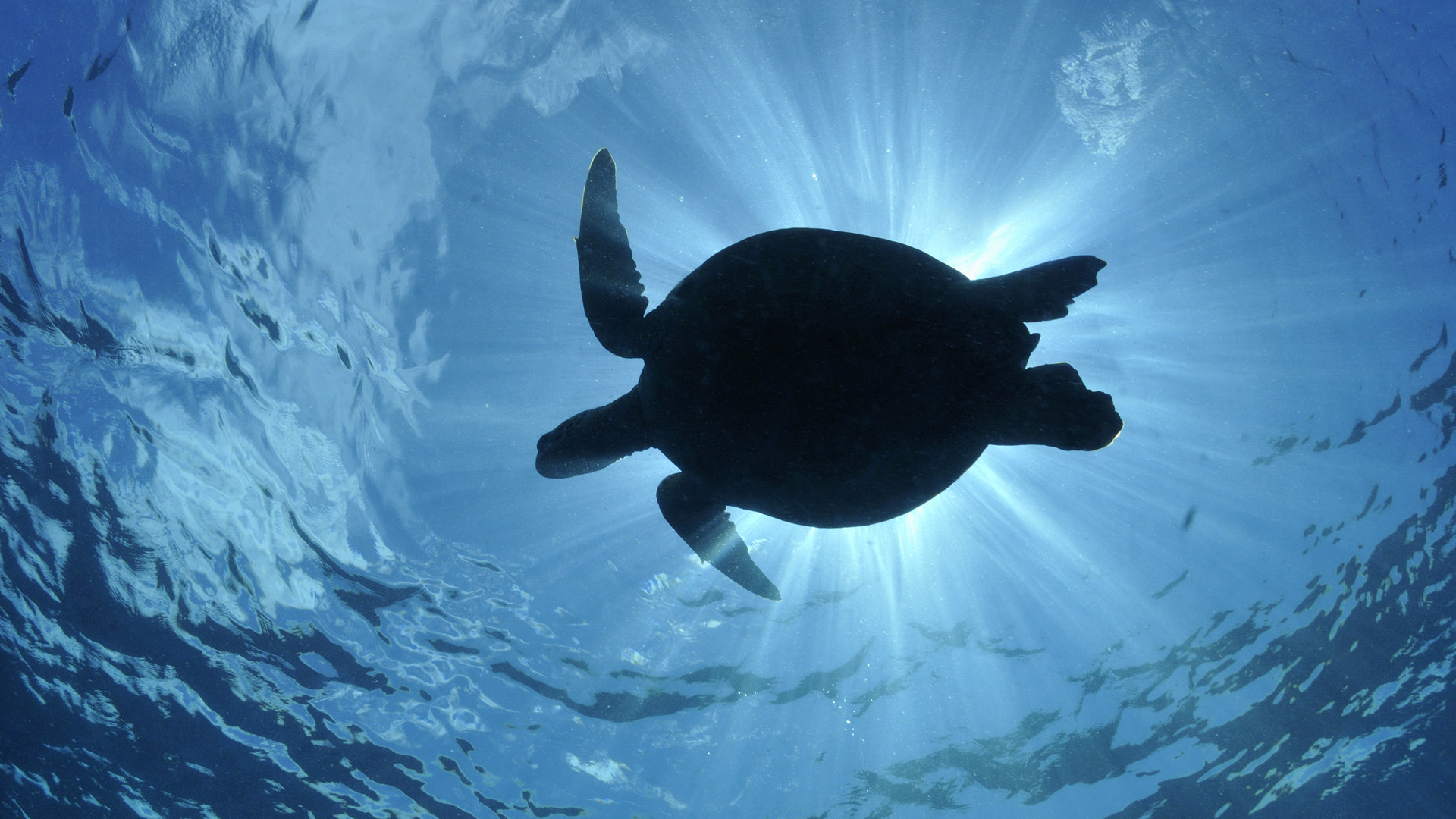 ... Silhouette of a Green Sea Turtle (Chelonia mydas) ...