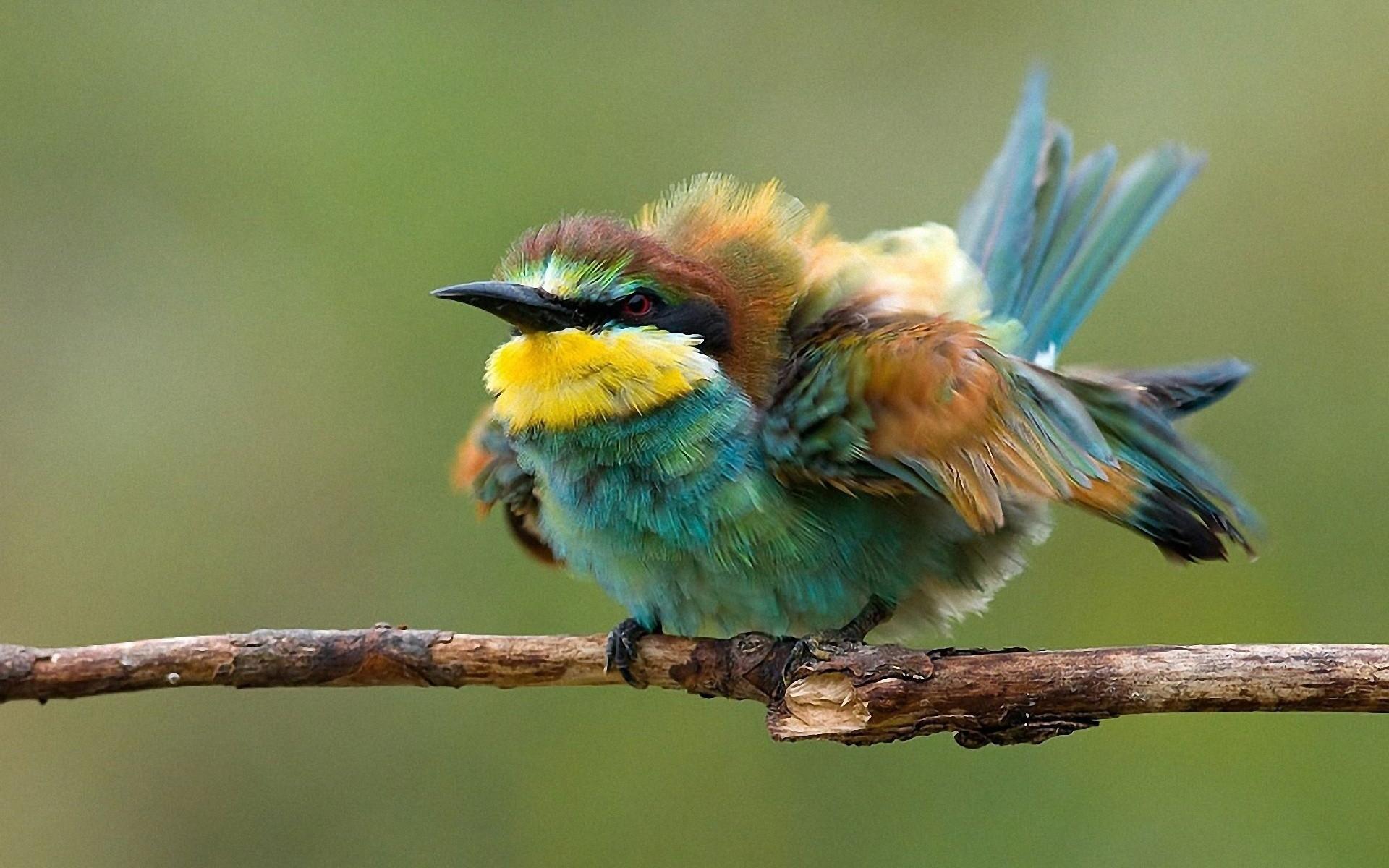 birds wildlife Bee Eaters twig wallpaper