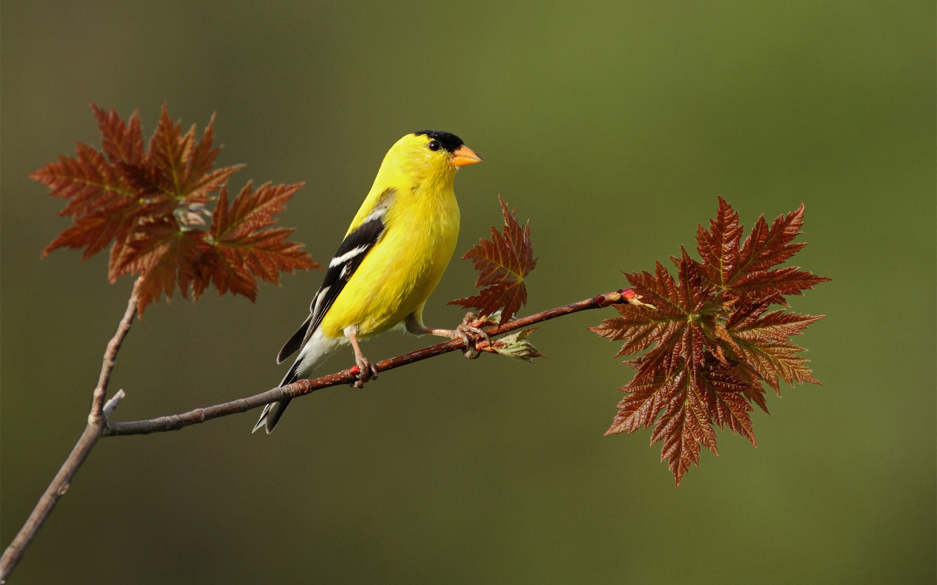 Yellow Bird On A Twig *** wallpaper