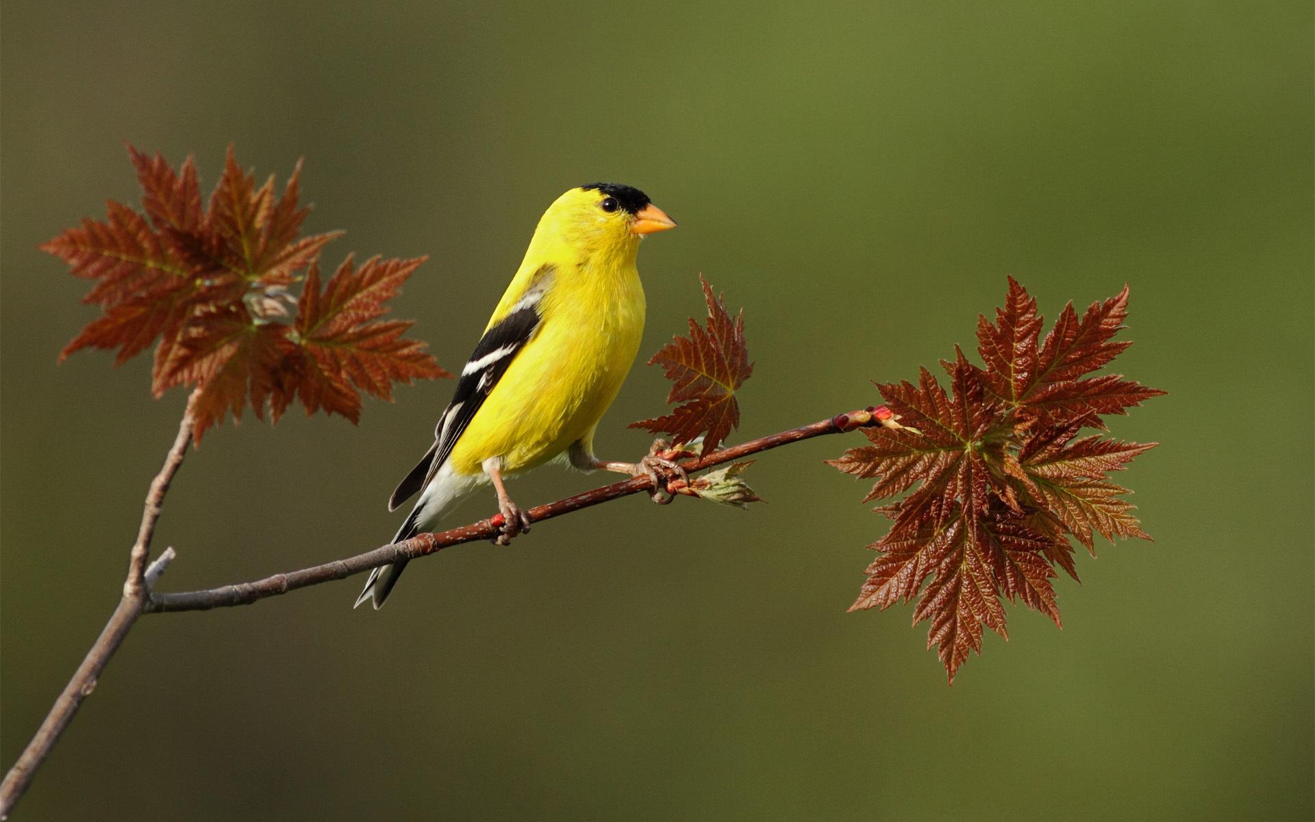 Yellow Bird On A Twig *** wallpaper