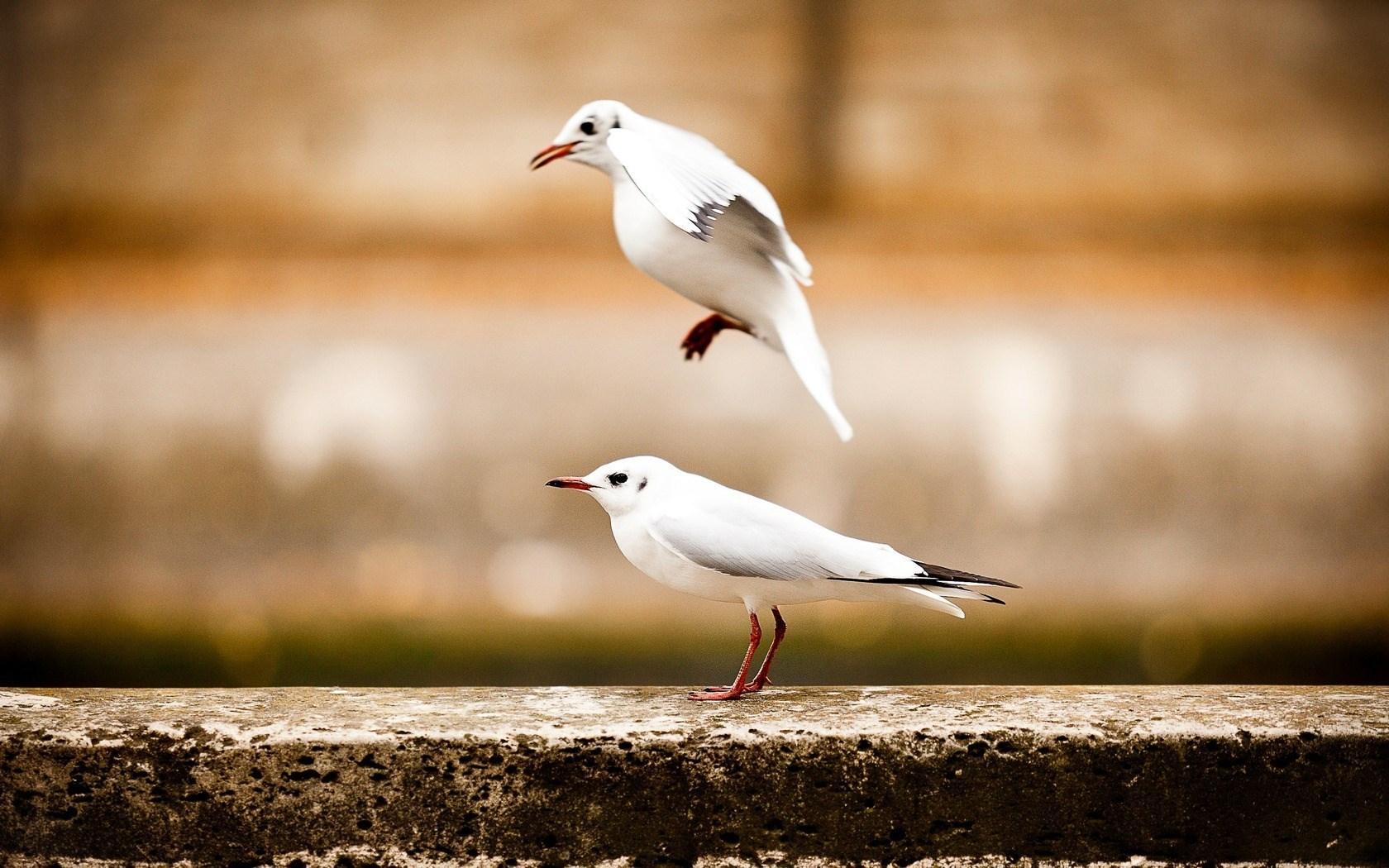 Two Birds Seagulls
