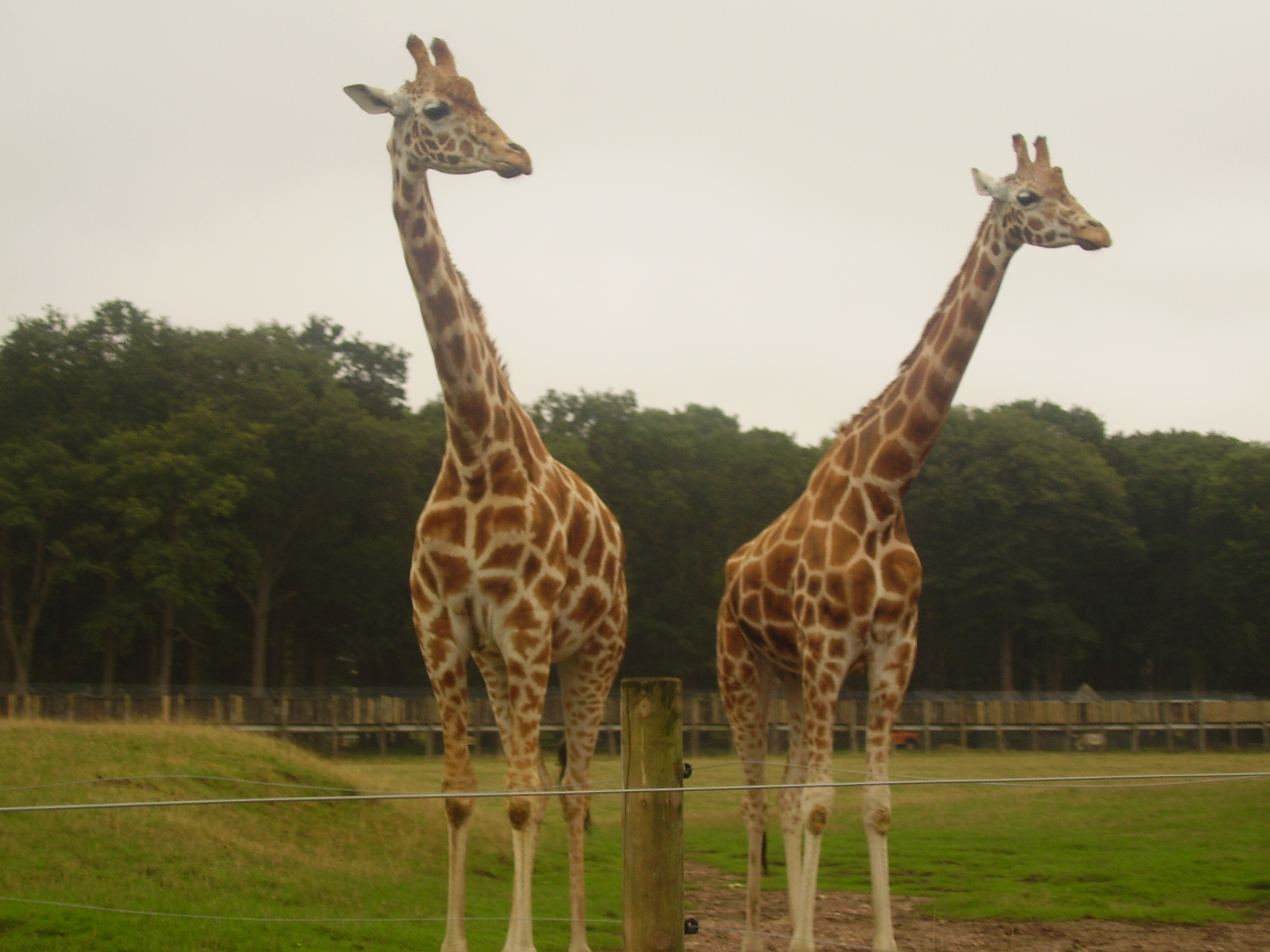 File:Two Rothschild giraffes at Woburn Safari Park.jpg
