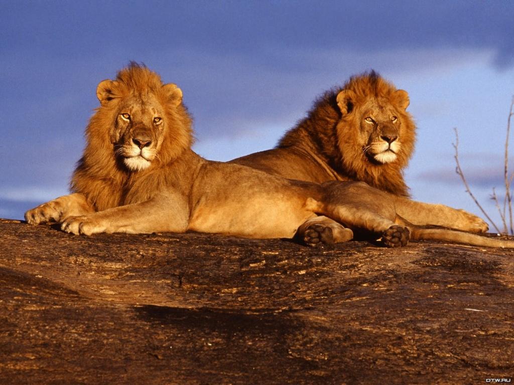 Two lions wallpaper