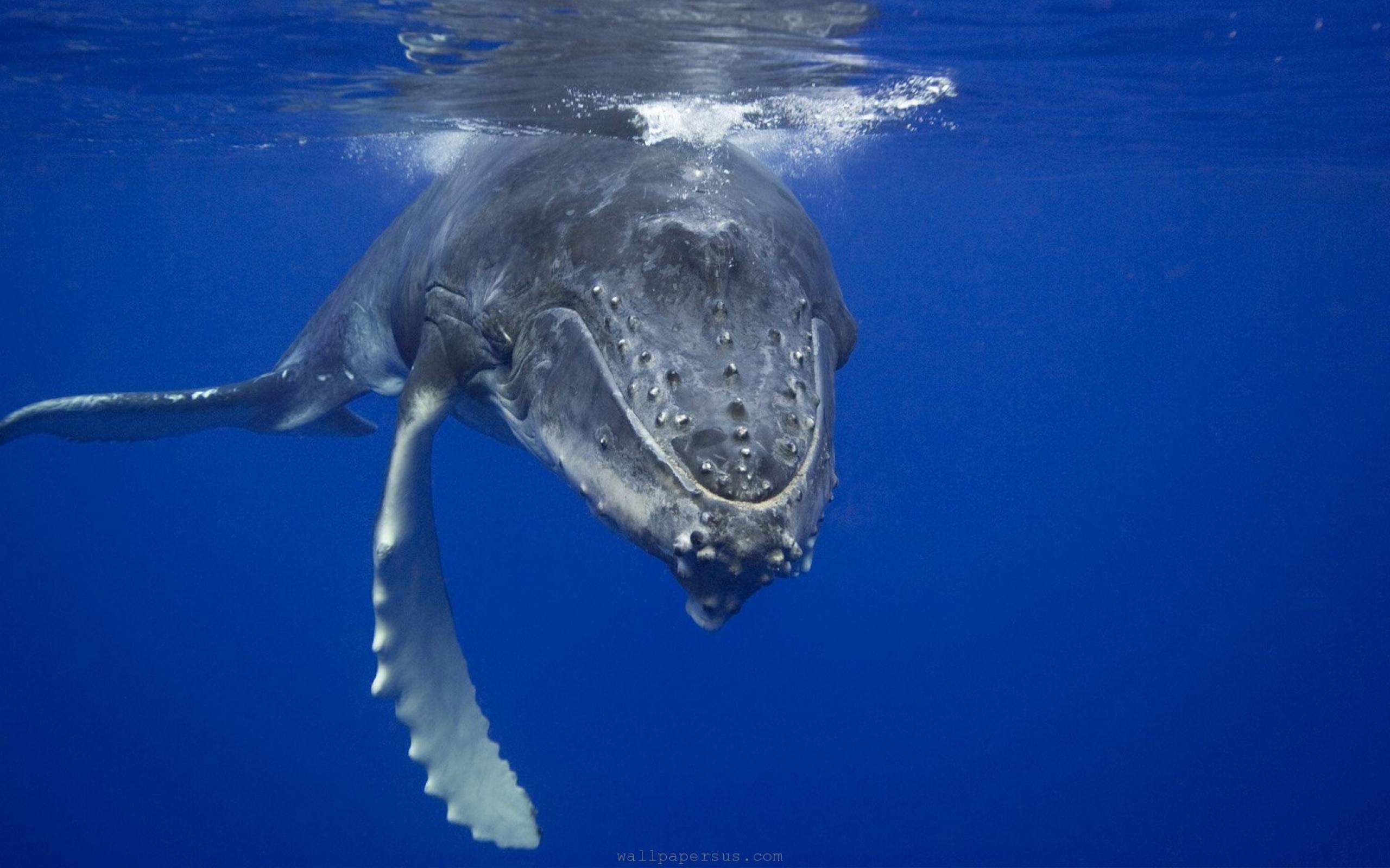 Underwater Blue Whale