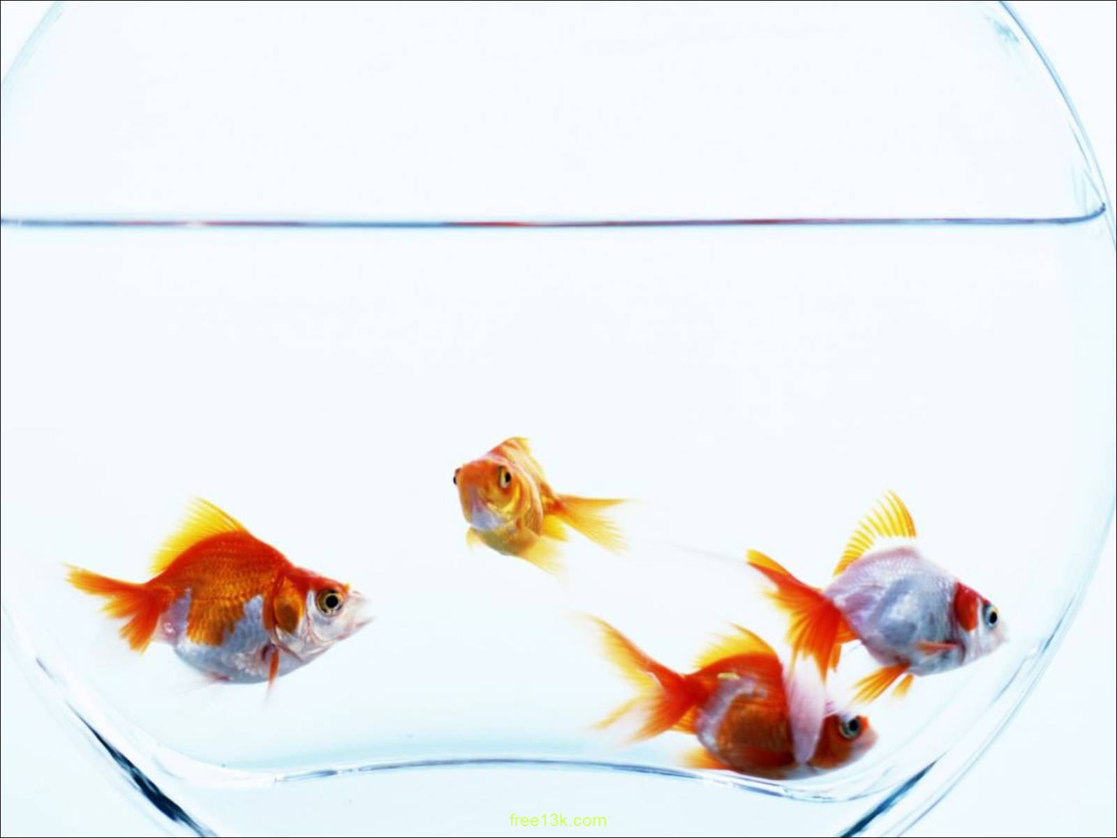 Download Free Previous Animals Under water Goldfish aquarium wallpaper Wallpapers Backgrounds. The resolution of Previous Animals Under water Goldfish ...