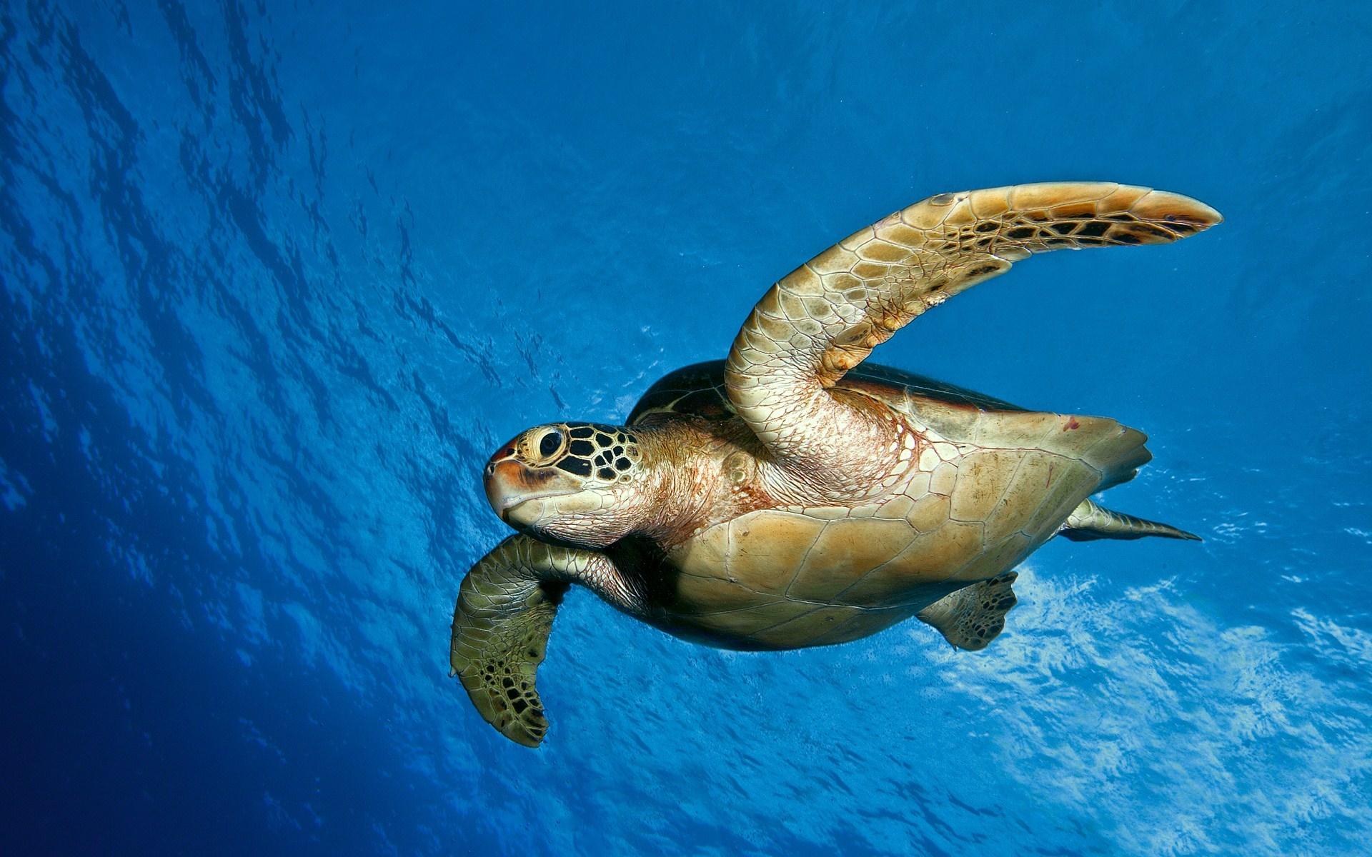 Underwater Turtle Ocean
