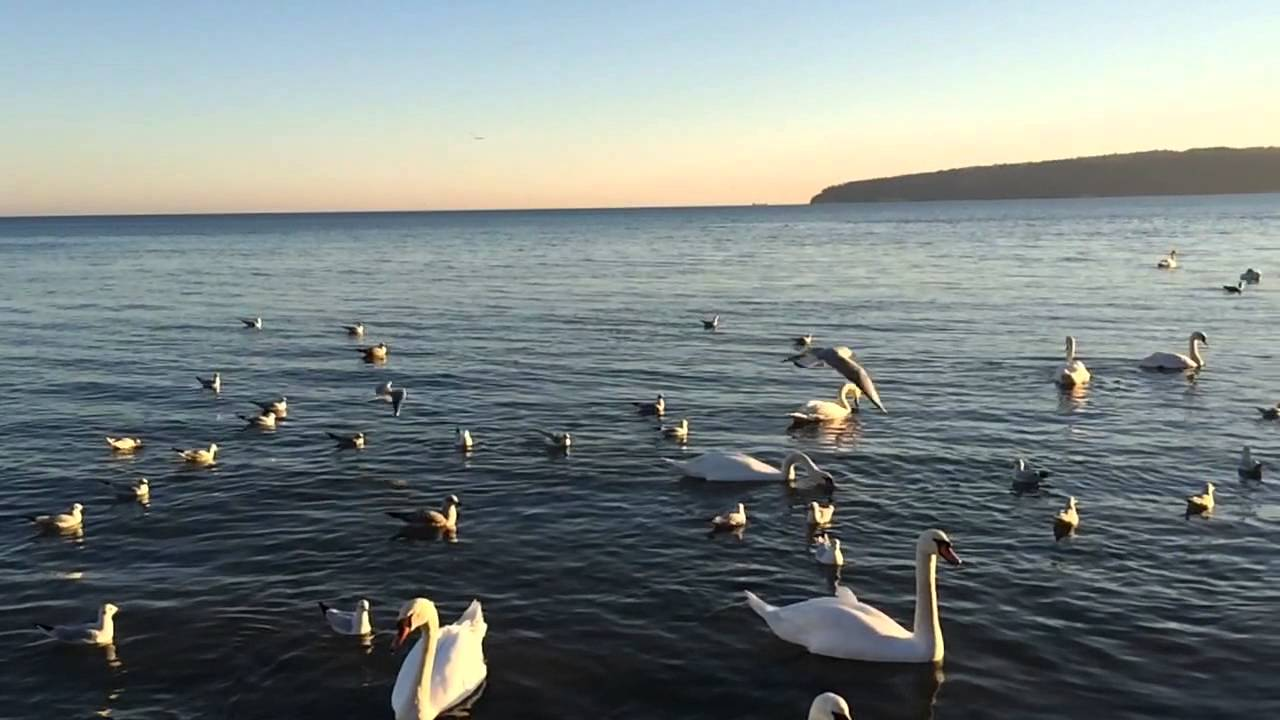 Swan & seagulls on black sea Varna Bulgaria part 2