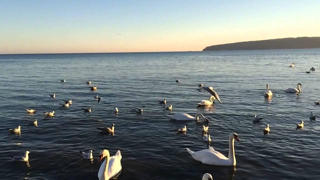 Varna Sea Gulls
