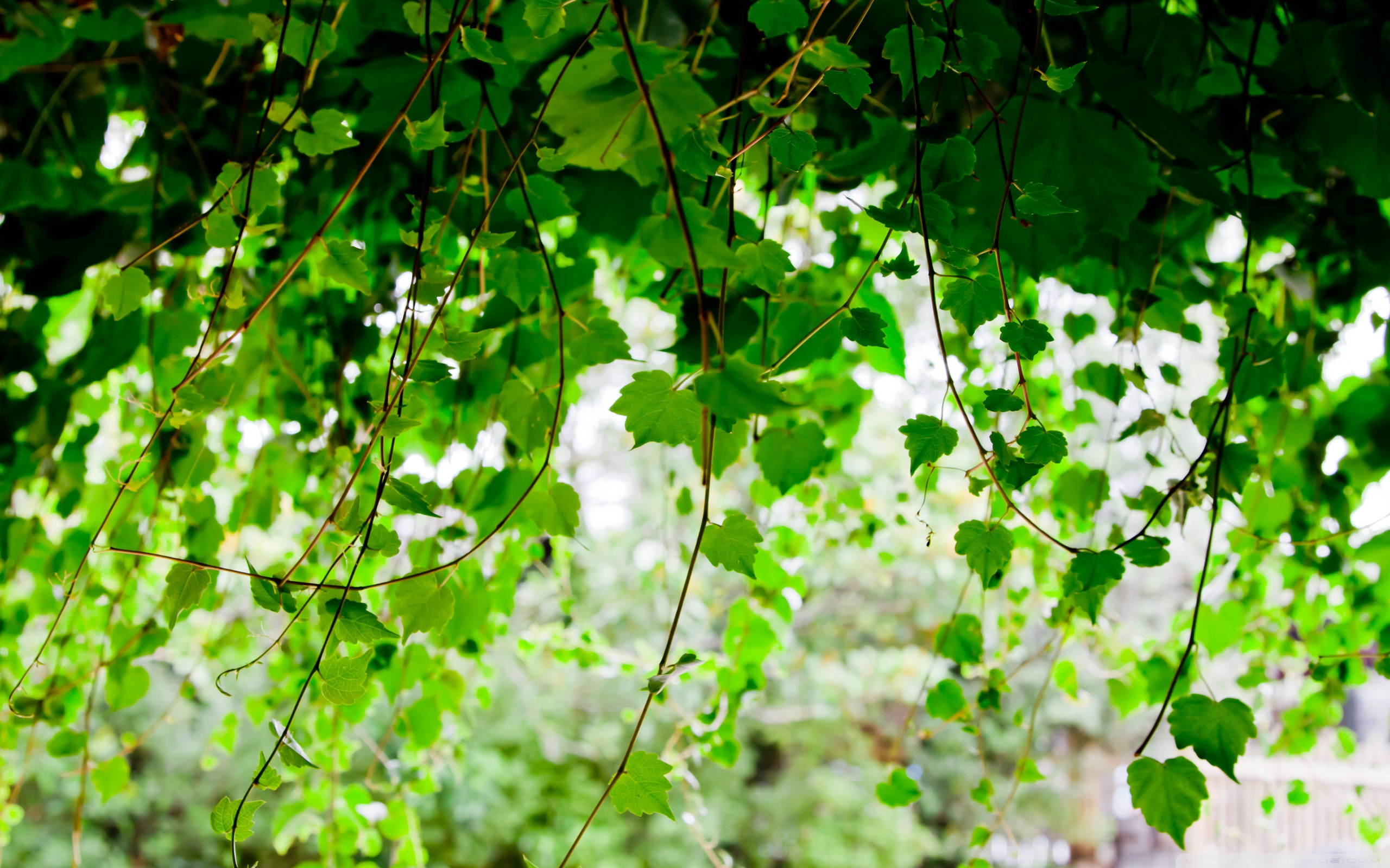 Vines Wallpaper