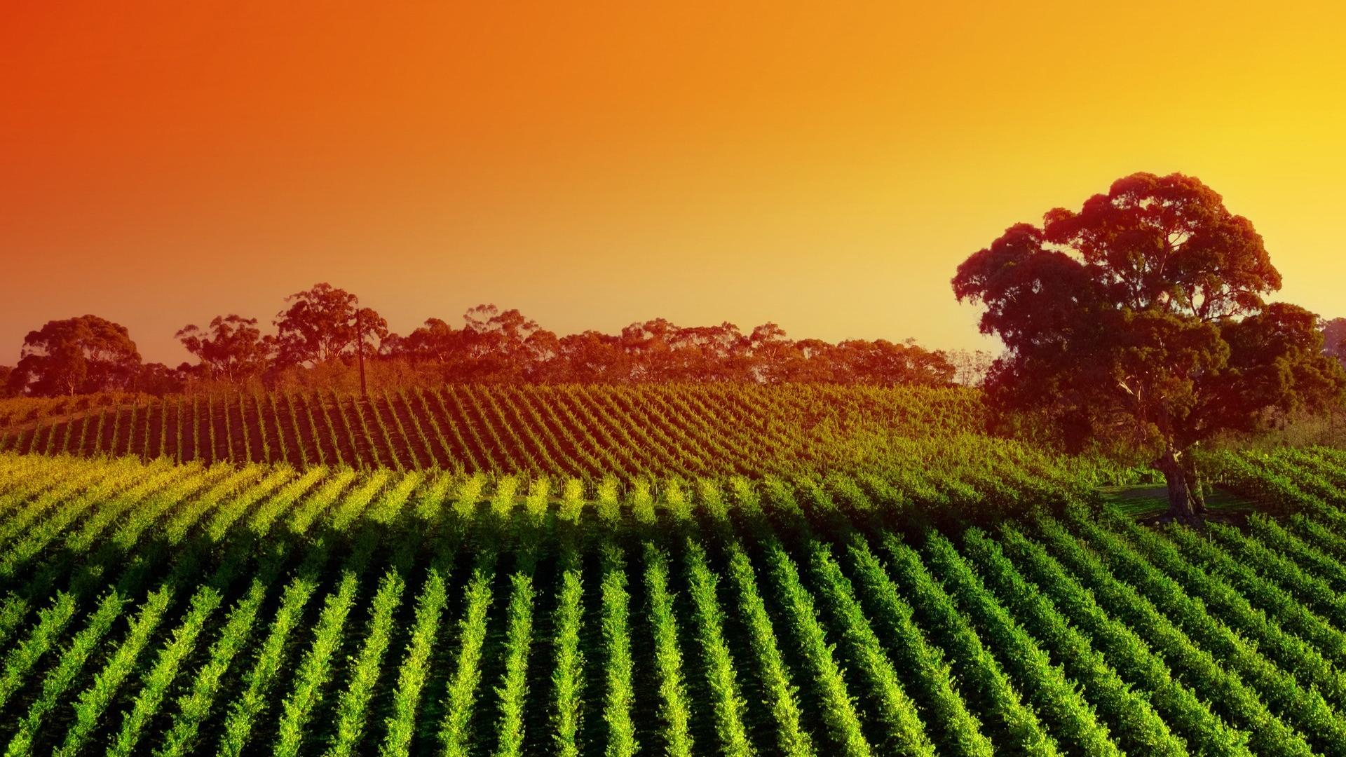 Landscapes nature fields sunlight vineyard wallpaper