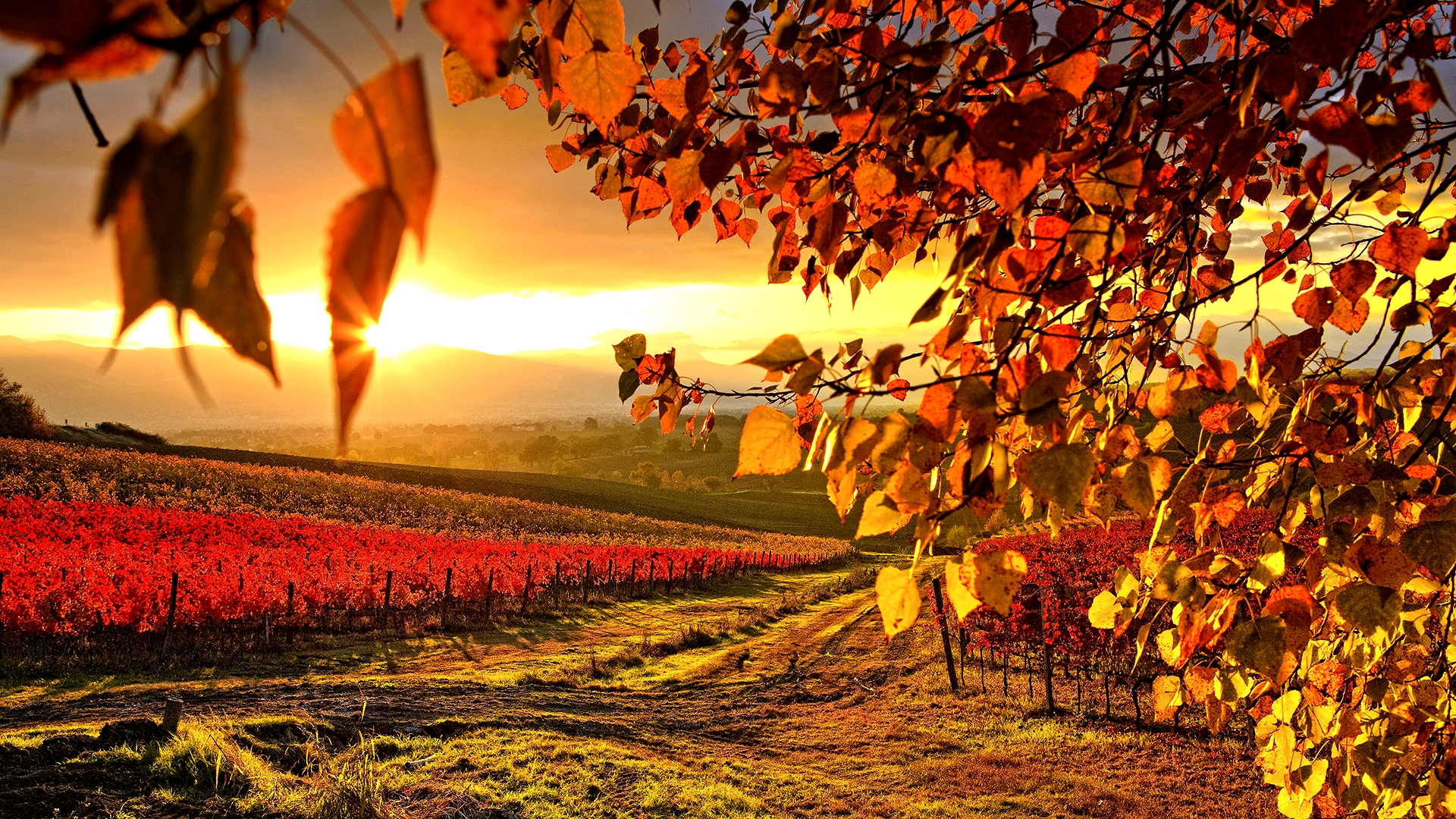 Vineyard autumn