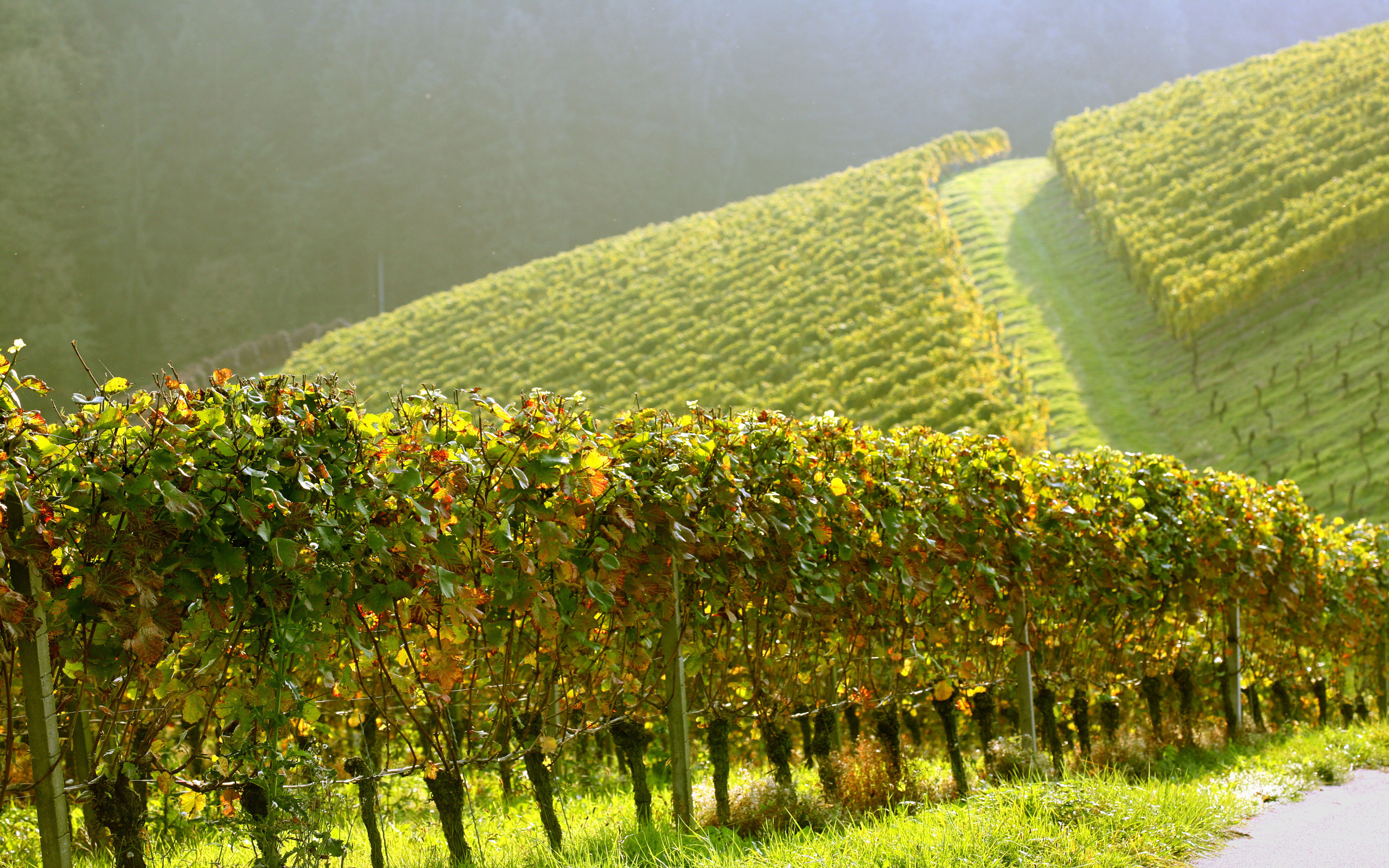 Vineyard Wallpaper