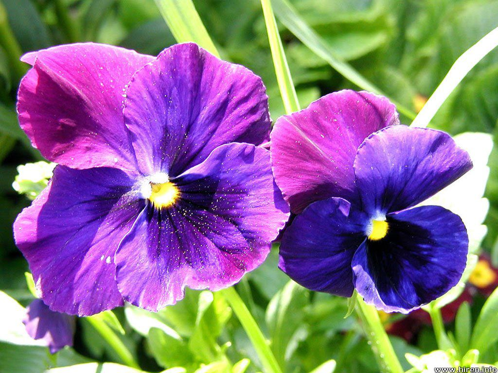 Flowers Violet Flower Wallpaper
