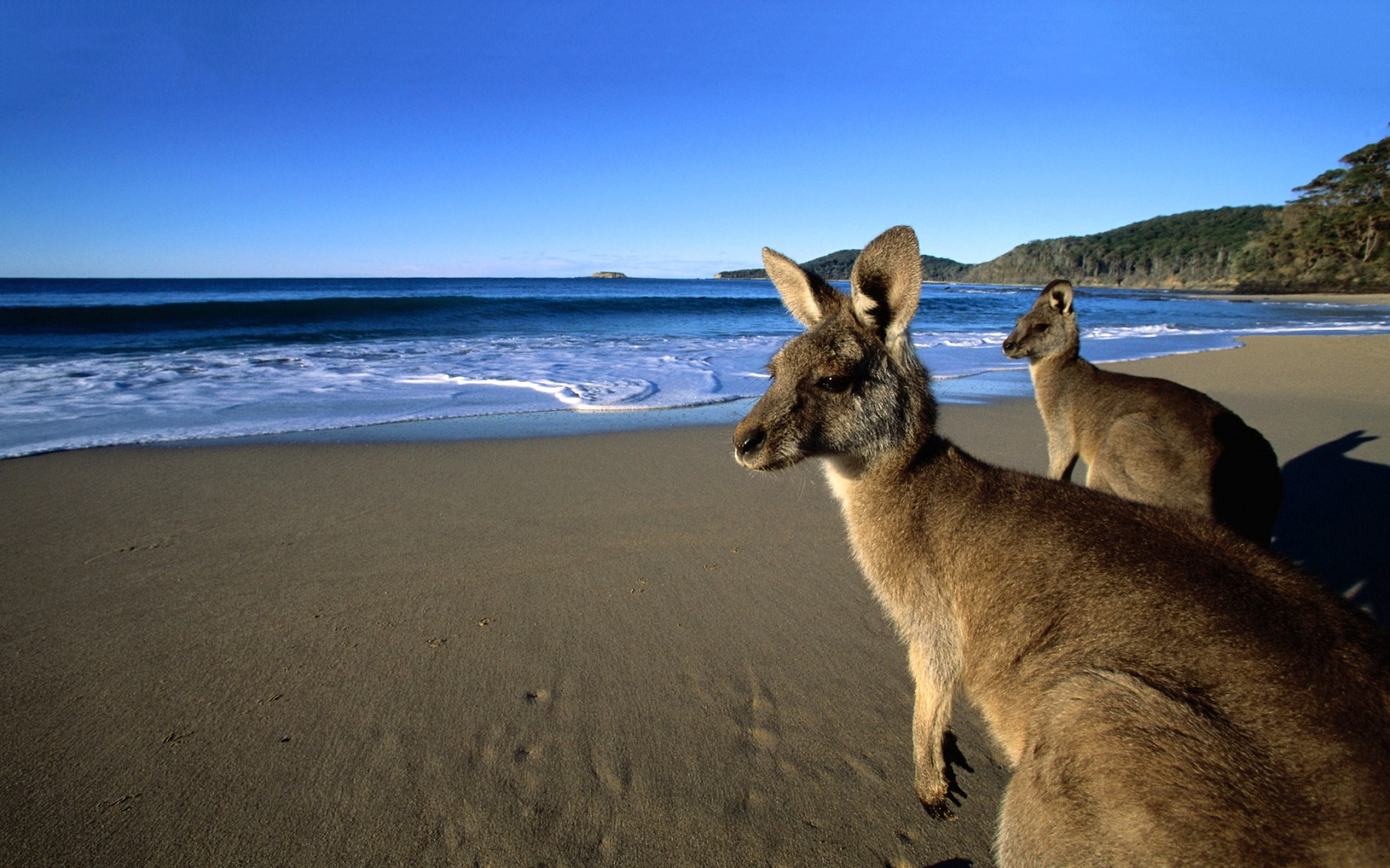 Wallabies beach