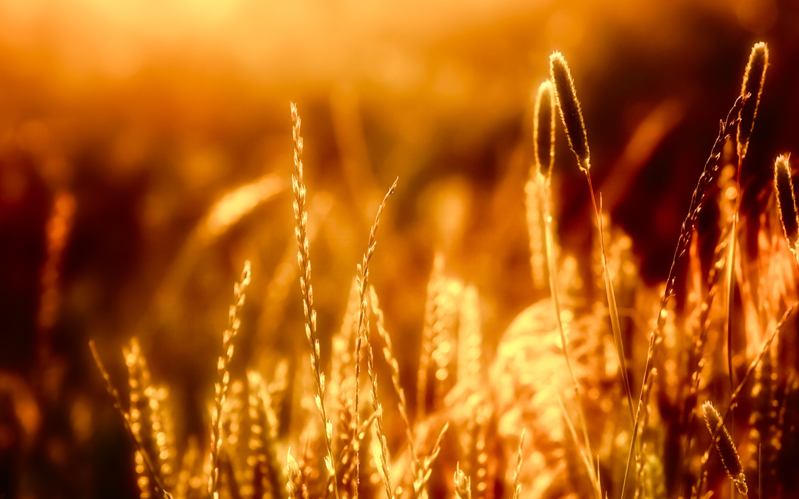 Closeup Of Grass in The Warm Sun Wallpaper Resolution 2560x1600px