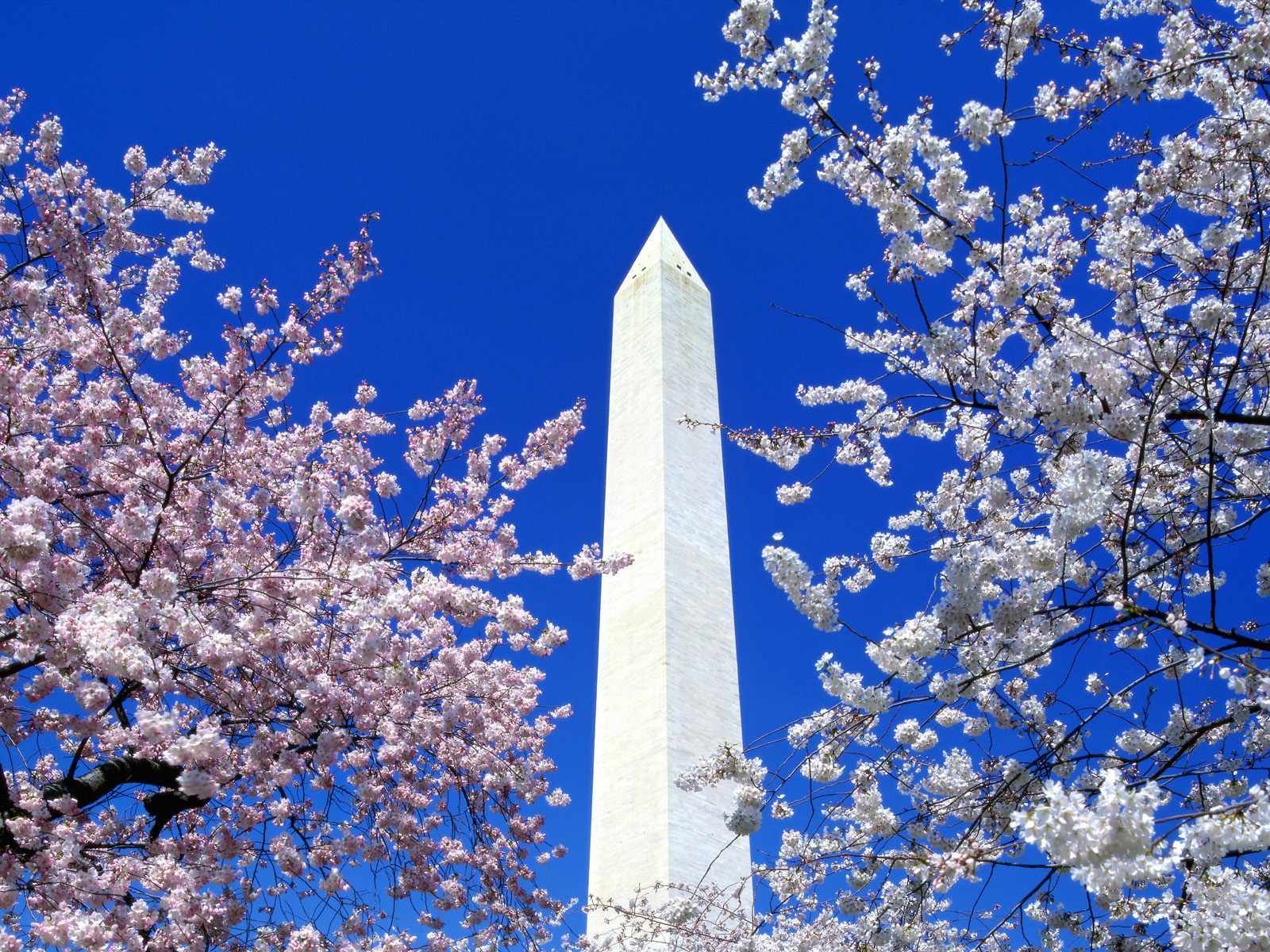 Washington Monument through the cherry blossoms, Washington D.C. 1600x1200 wallpaper