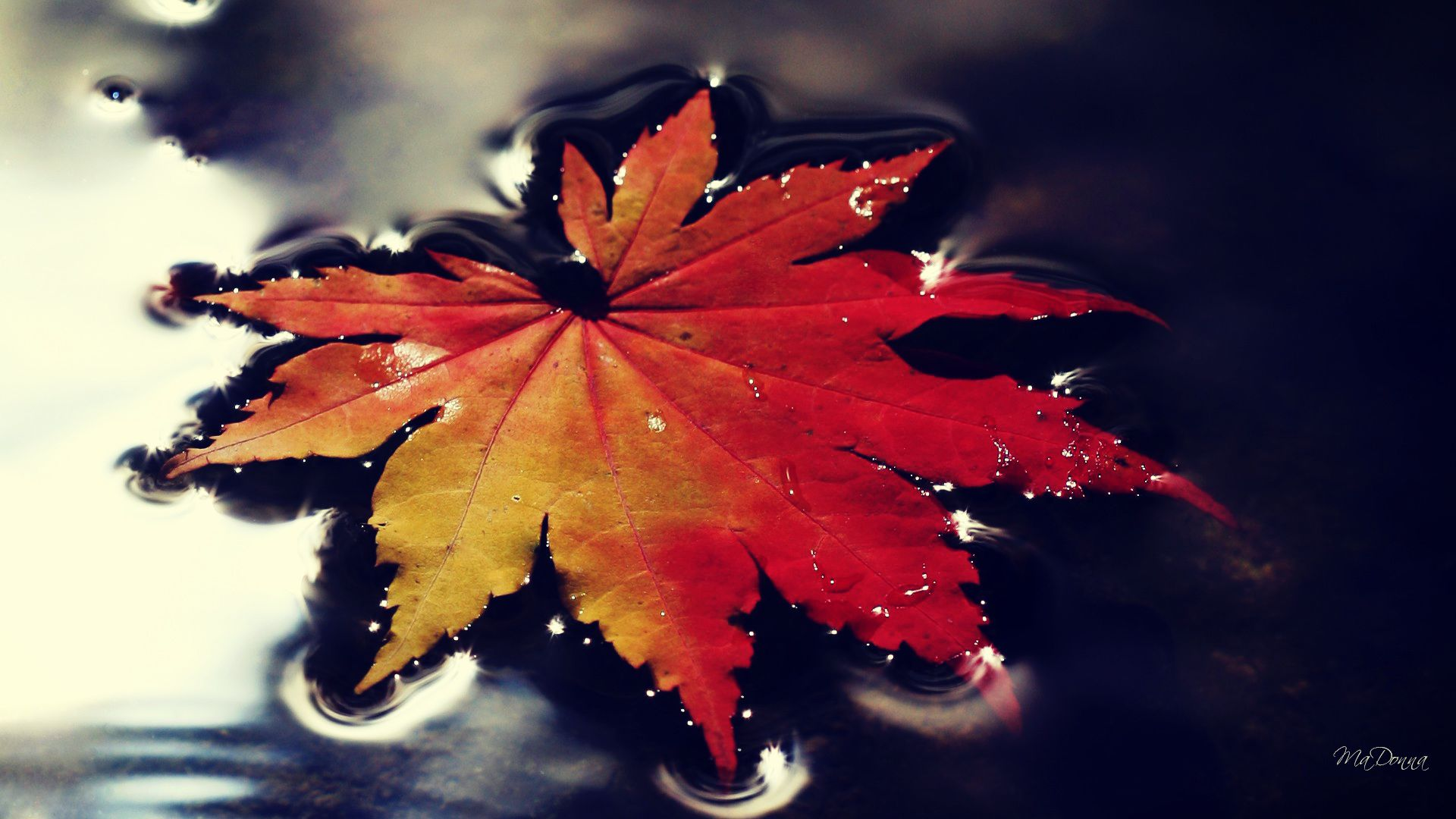 Nature Wallpaper Autumn Leaf Falling in Water Xpx 1920x1080px
