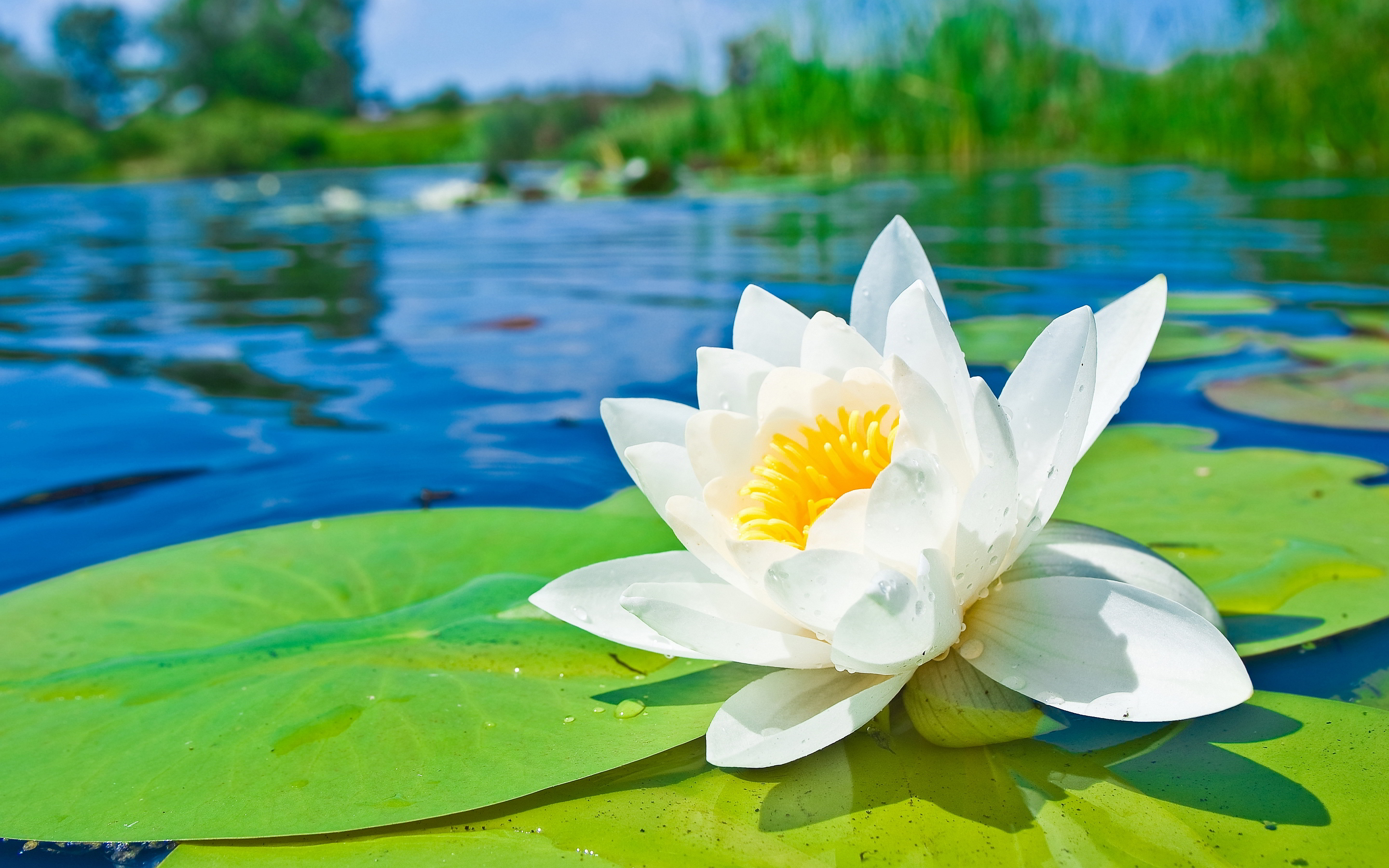 Water lily hd