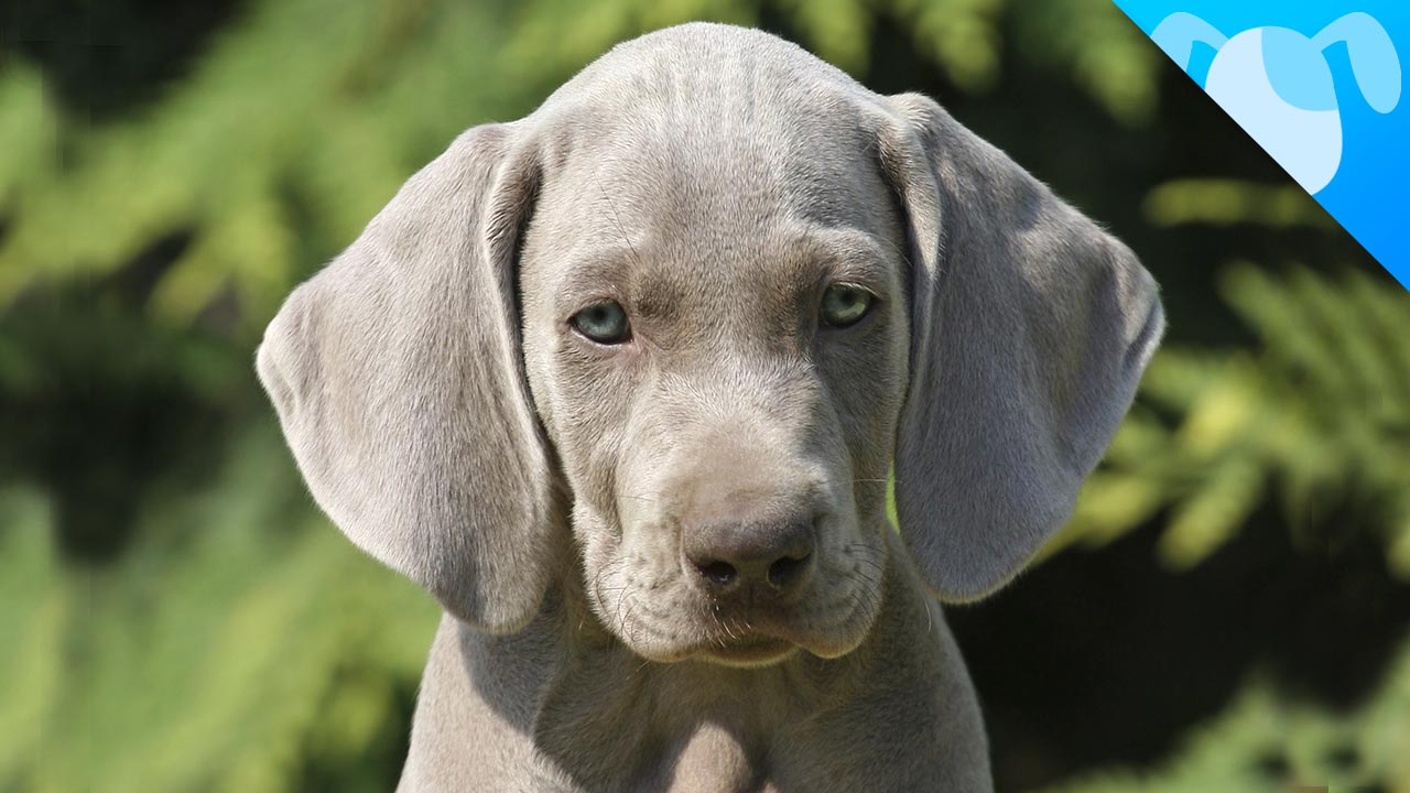 Weimaraner Facts The Dog With The Human Brain