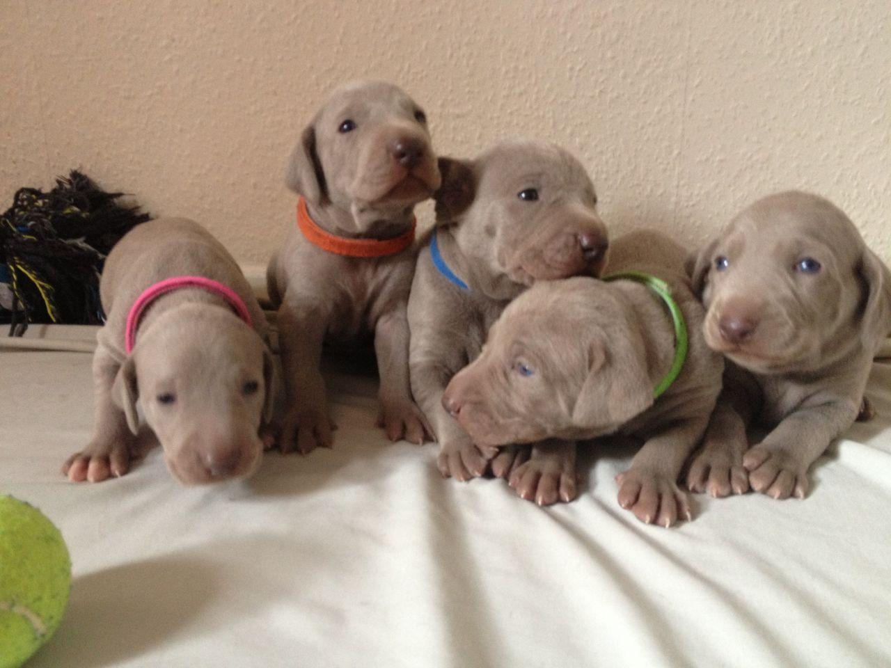 Weimaraner Puppies 1000 Posted 1 Year Ago For Sale Dogs Weimaraner
