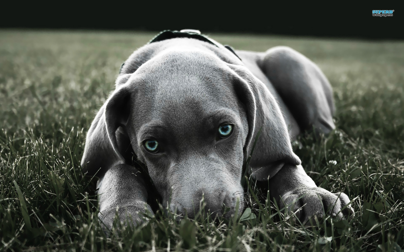 Weimaraner Wallpapers