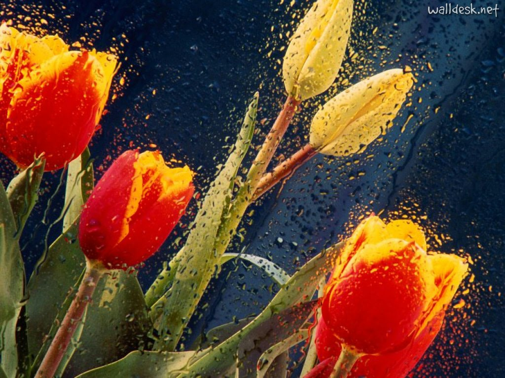 Wallpapers Wet Tulips