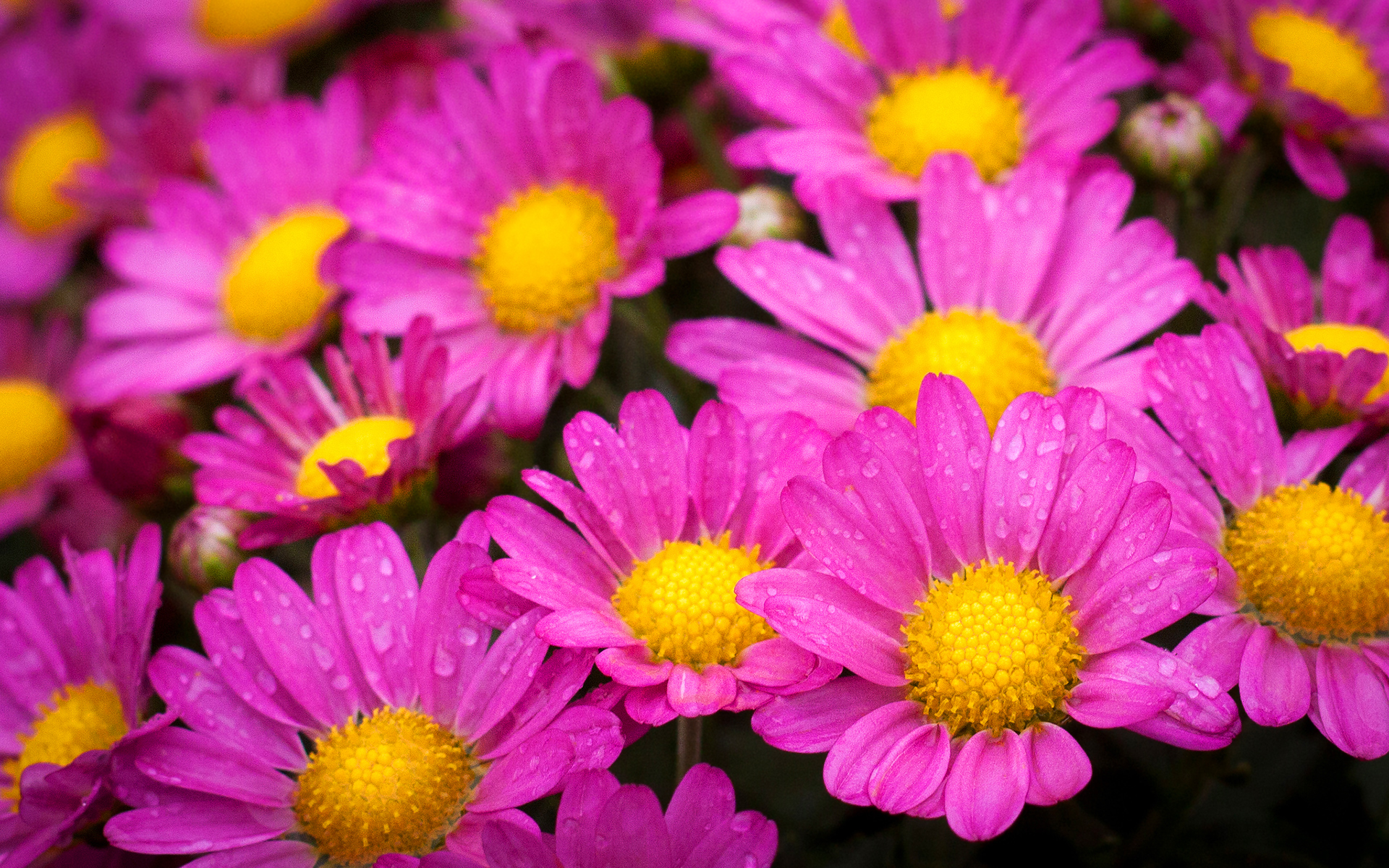 Wet yellow pink flowers