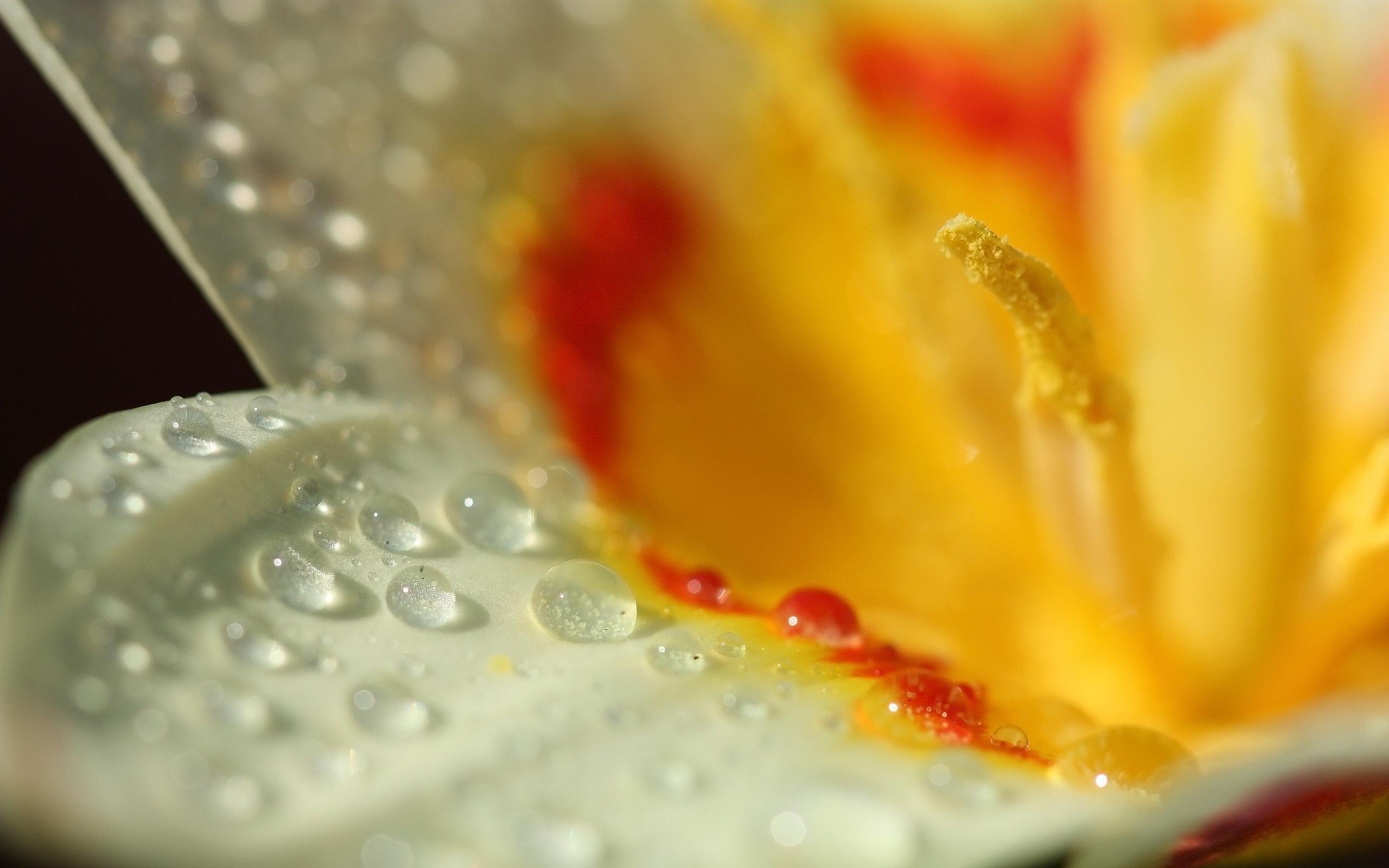 Wet yellow white tulip flower