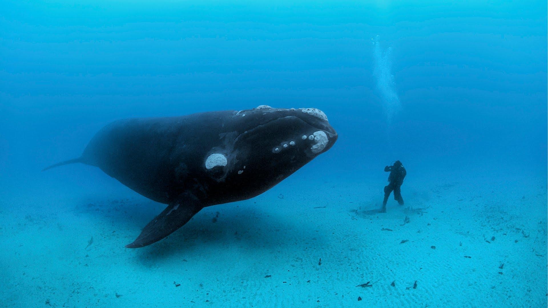 Whale diver underwater