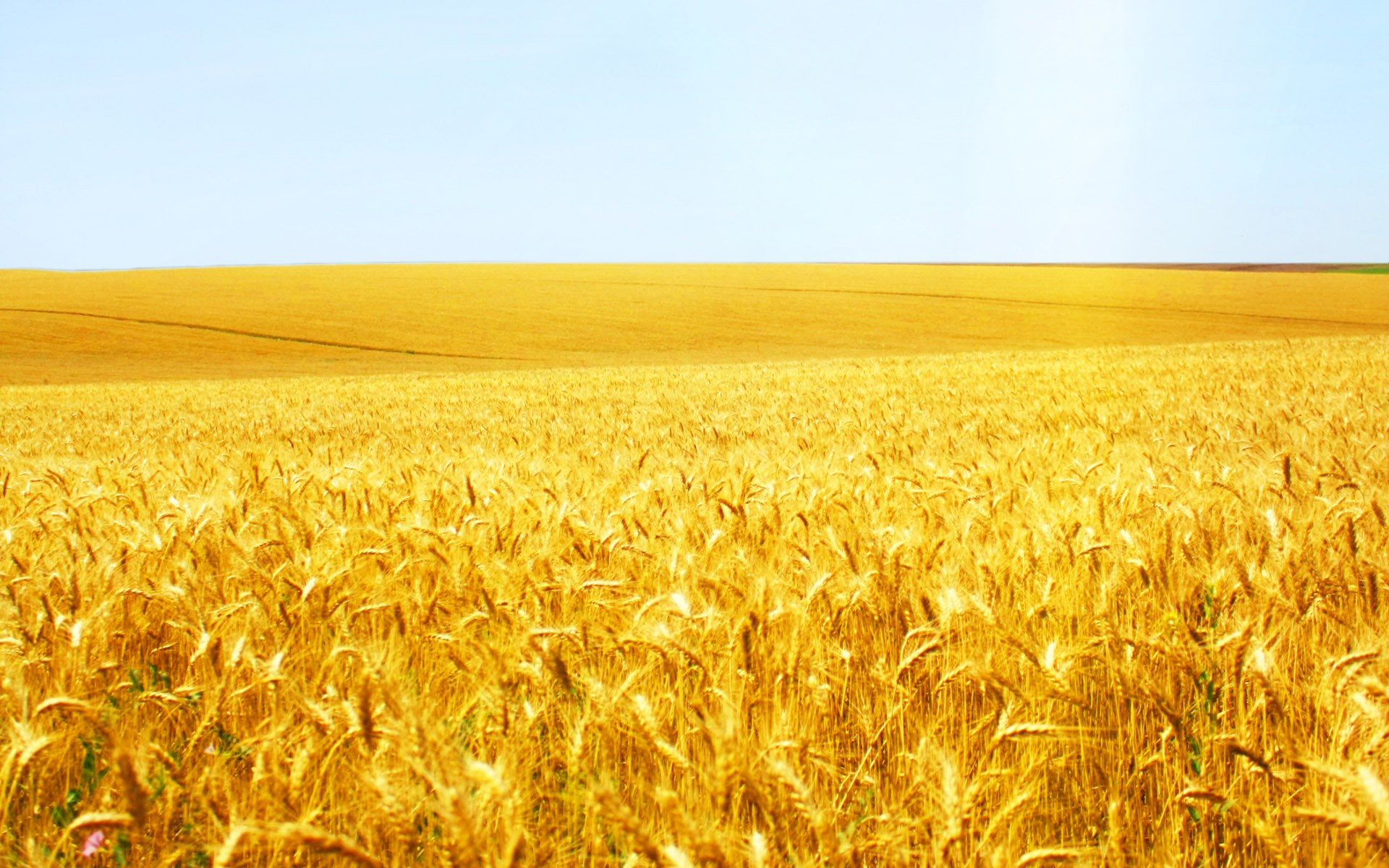 Wheat field wallpaper