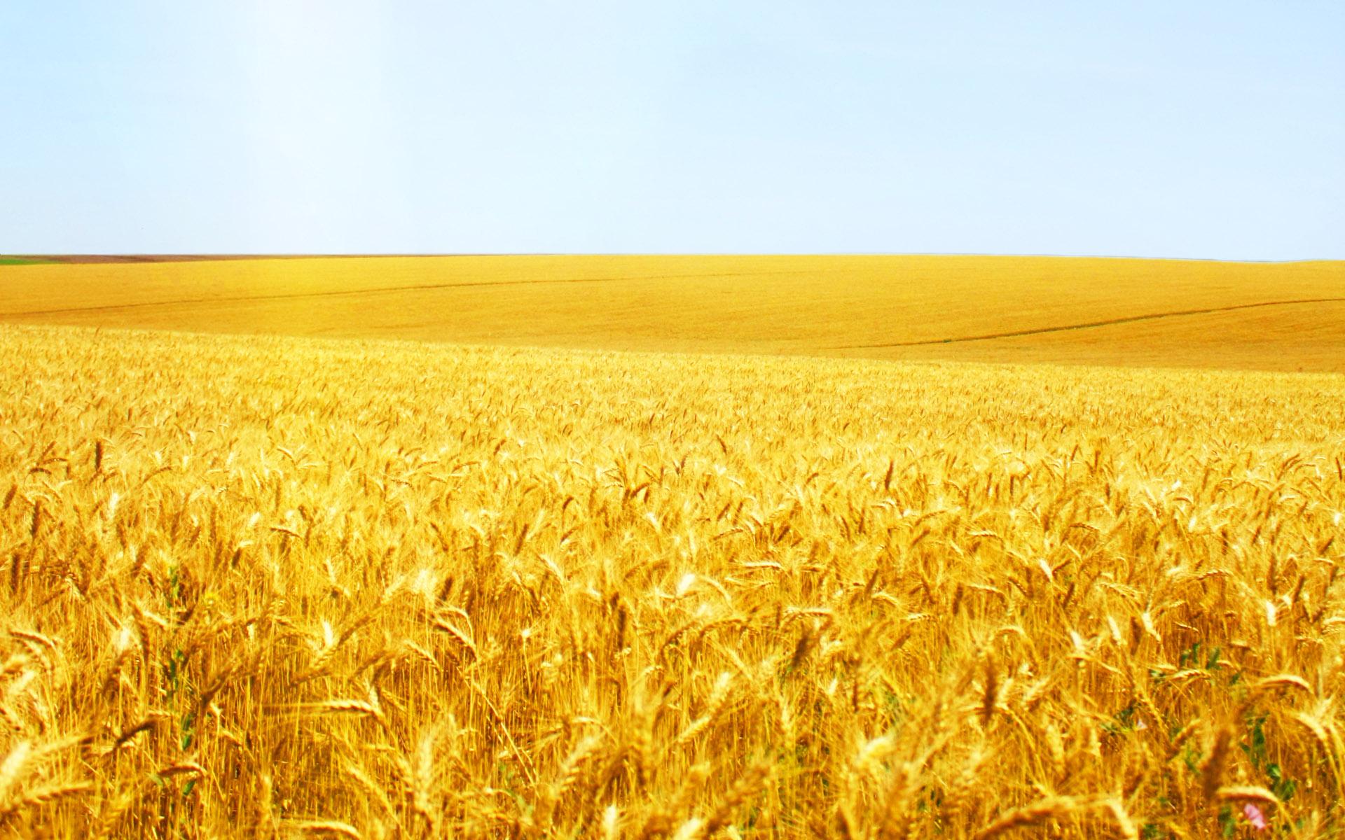wheat field landscape desktop picture