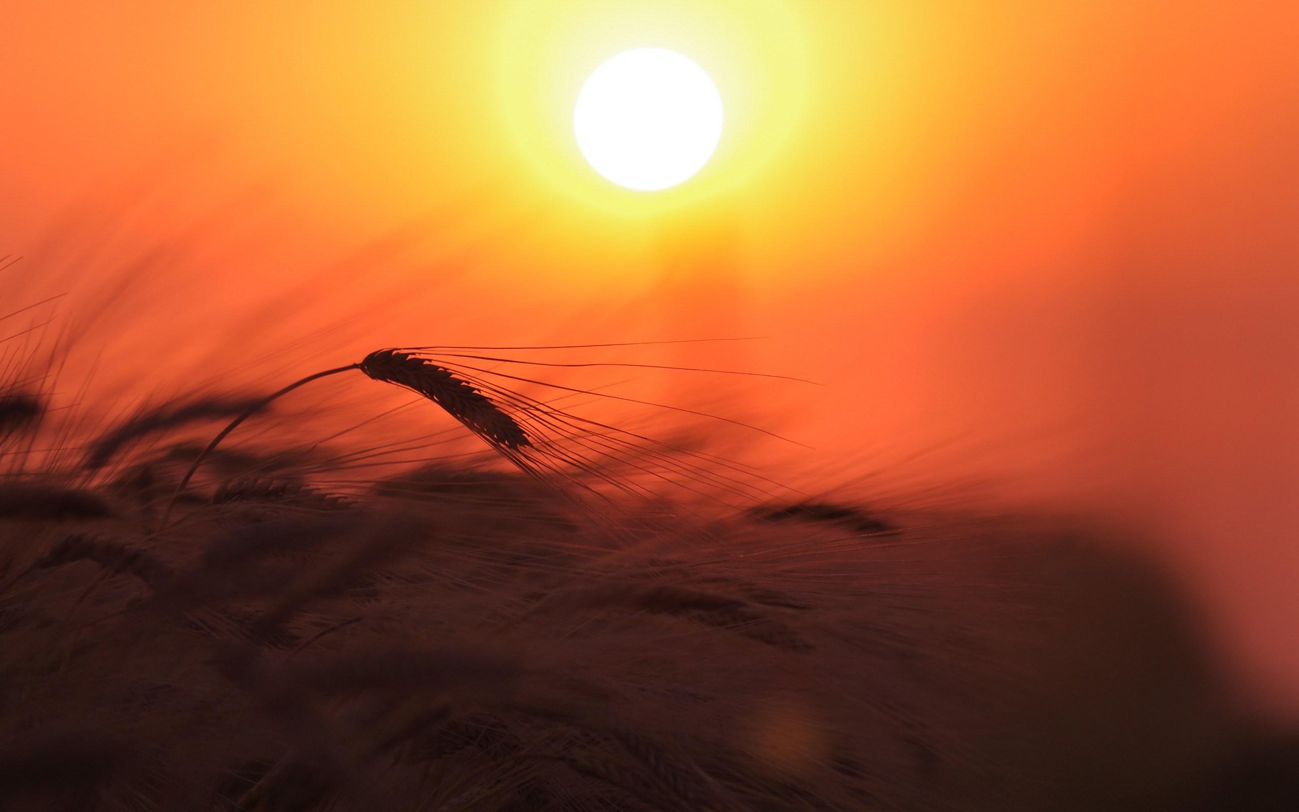 Wheat Field Nature Light Sun Sky Sunset