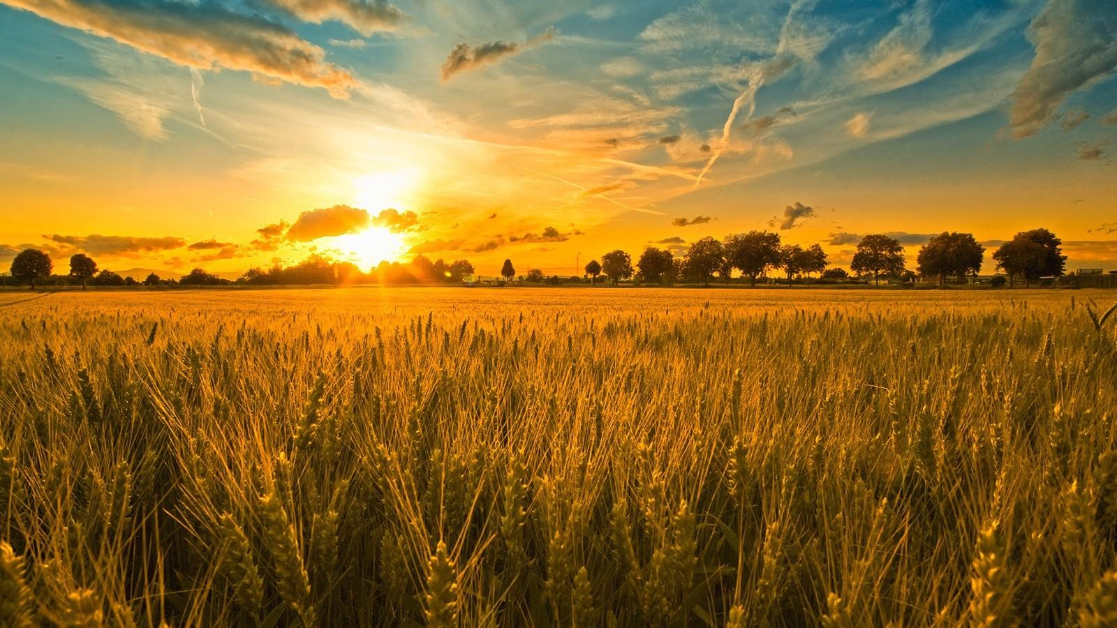Wheat field sunlight