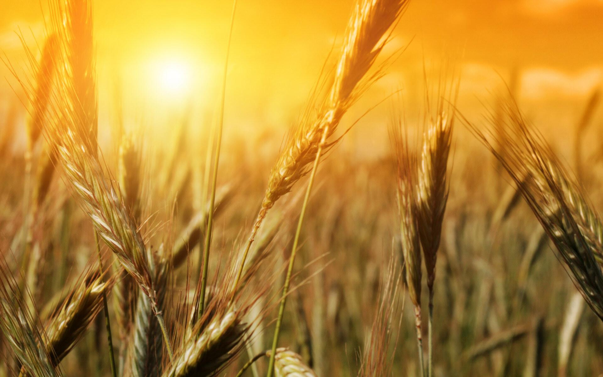 Wheat Field Wallpaper