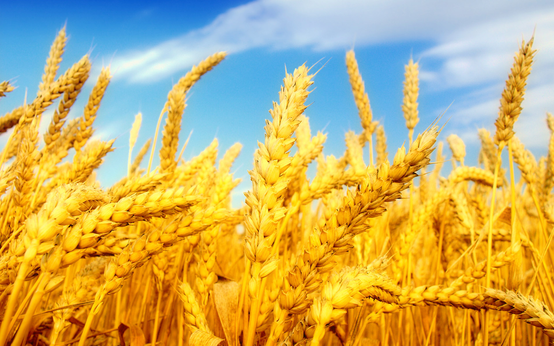Wheat HD